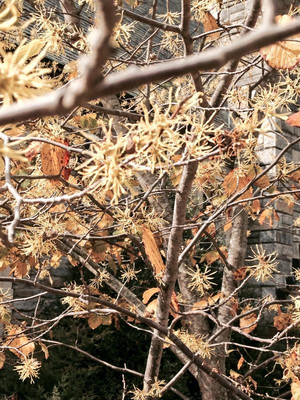 Witch hazel's strappy blooms are a great addition to the fall landscape (and some bloom in winter).