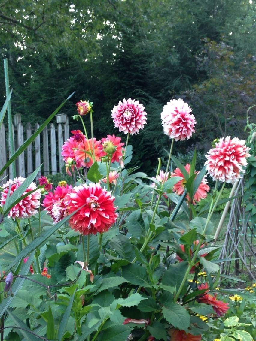 Dahlias are a tuber that is planted in mid-April. A summer bulb versus a spring bulb. They are fall bloomers and do their best when the weather starts to cool in early fall.