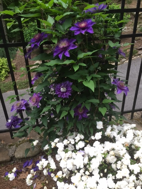 """Clematis 'Multi Blue' Type 2, flushes in early summer and again in fall. Prune in late winter, early spring. Cut out dead/diseased stems and cut back to 6-8"""" above developed buds. That is azalea Hardy Gardenia below it."""