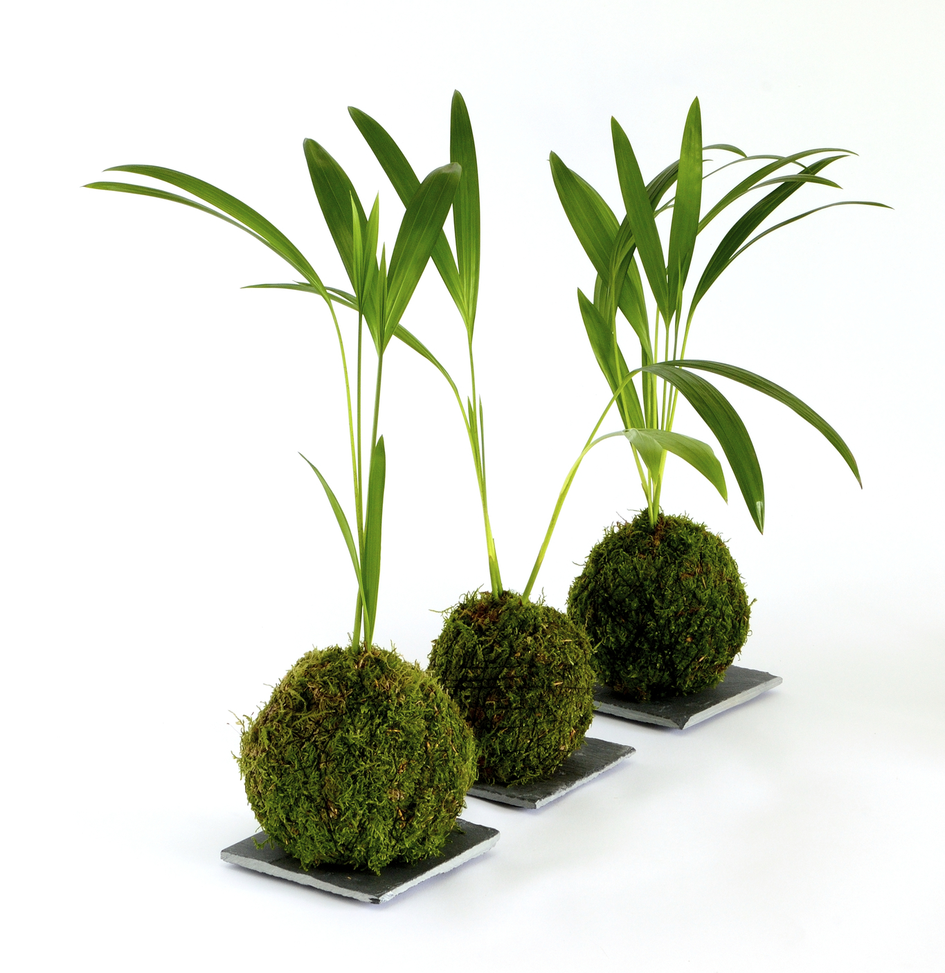 Terrarium sized plants are perfect for starter plants for Kokedama. They're easy to work with, generally don't mind the wet feet, and help a beginner out. Instead of hanging them, you can use decorative bowls or plant trays.