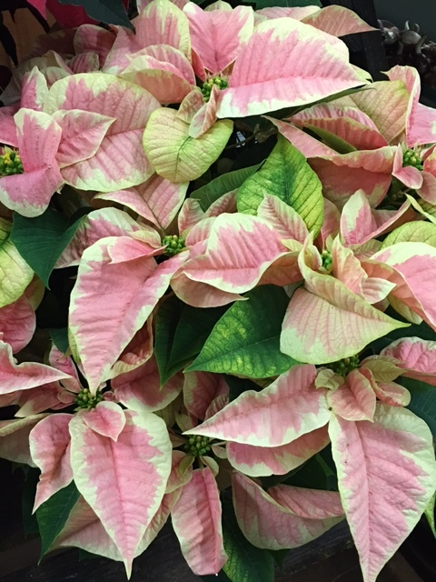 Variegate pink and cream poinsettia break with tradition for a softer holiday look. Poinsettias represent 250 million dollars of America's economy in retail dollars. And, that is in December alone.