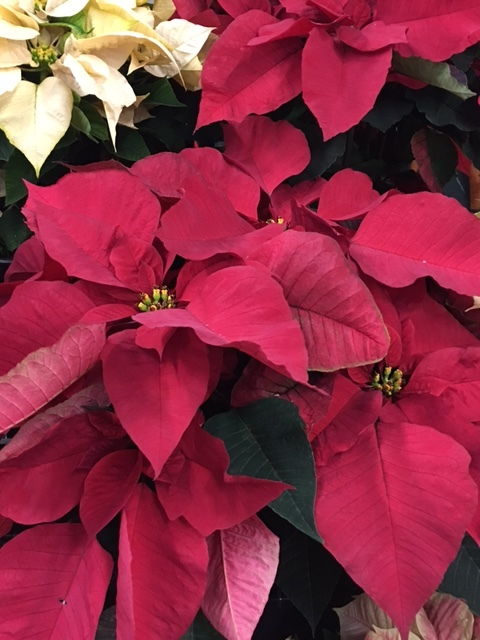 Traditional red poinsettia, sometimes referred to as the flame flower or lobster flower for its bold, red color.