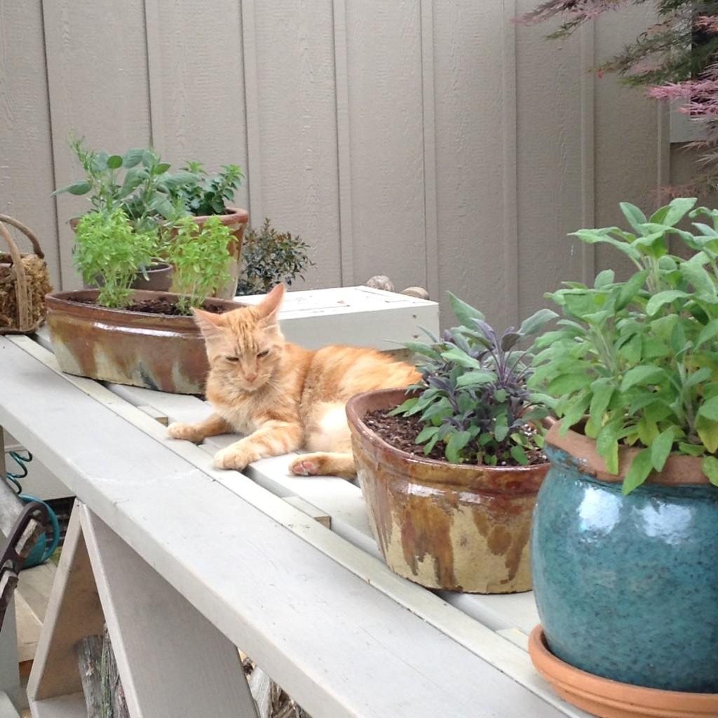 The neighbor's cat enjoying a sunny spot among the herbs.