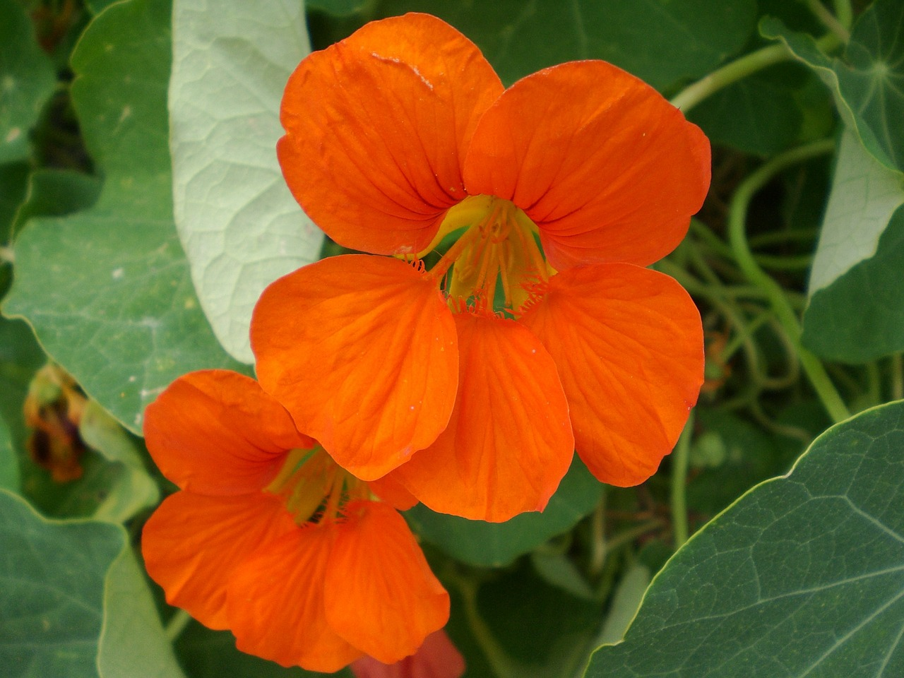 Nasturtiums brighten up any corner of the garden.