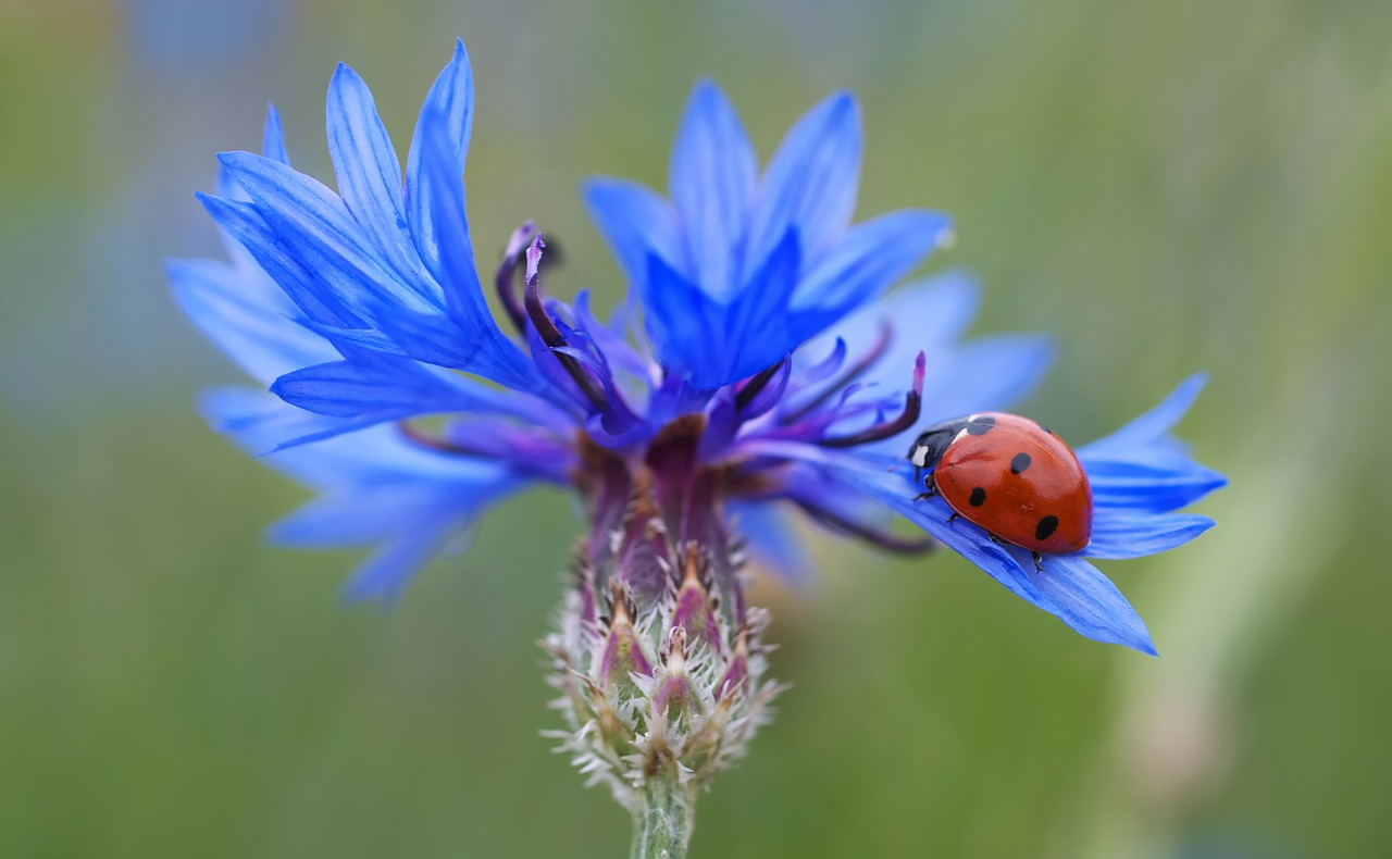 Ladybugs are pollinators as well, and eating machines. They eat up to 50-60 aphids a day, and they mucnh on scales, leafhoppers, and mites, too.