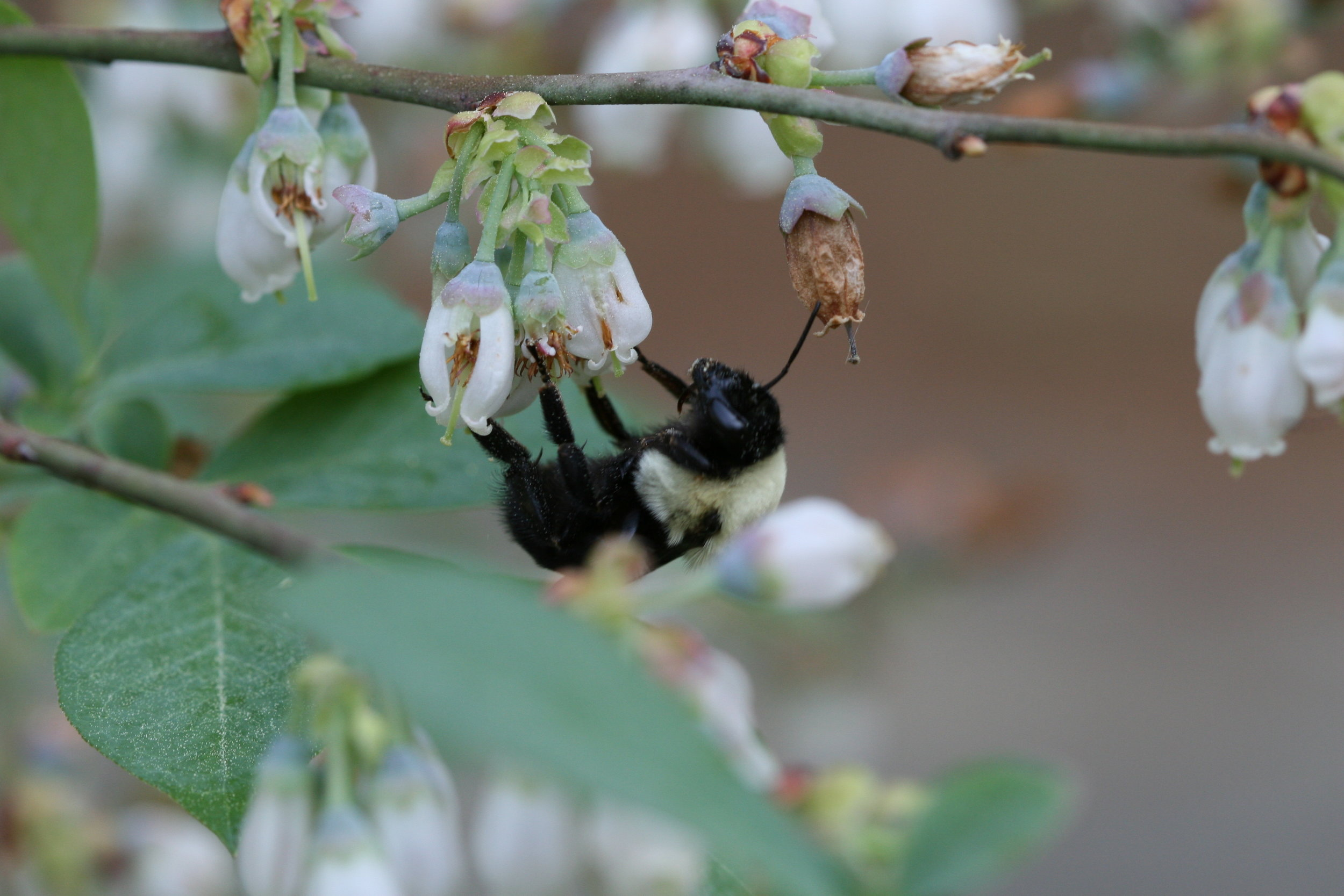 Blueberries are pollinated by native bees, bumble bees, and honey bees (to name just a few).