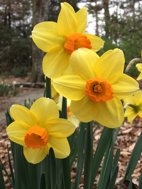 Another neighbor chose a bright orange and yellow daffodil.