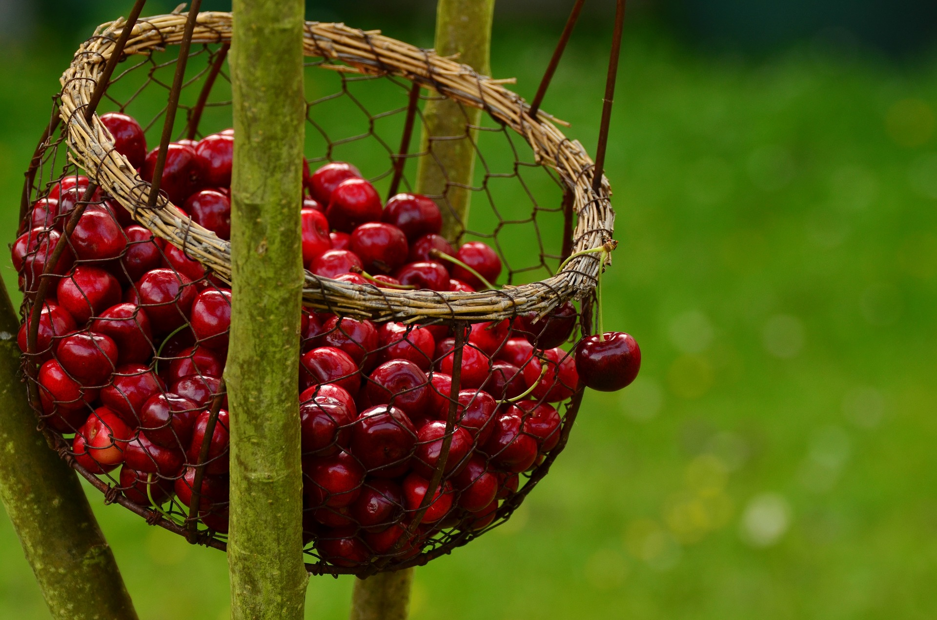 Cherry trees are so worth the space in the garden. Nothing beats a cherry pie, or straight off the tree. Again, netting is crucial unless you're planting for the birds.