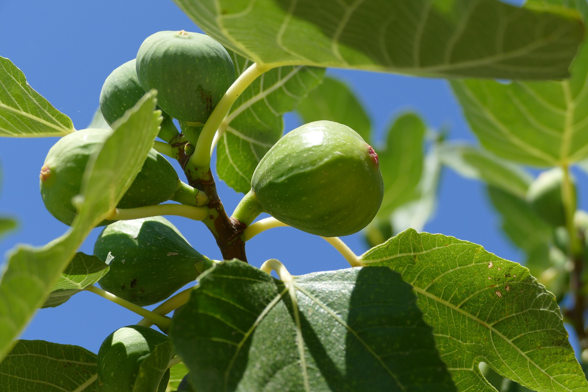Fig trees are rapidly becoming one of the most popular trees we sell. Not only is the fruit tasty, but the trees lend an architectural element to the garden not found elsewhere.