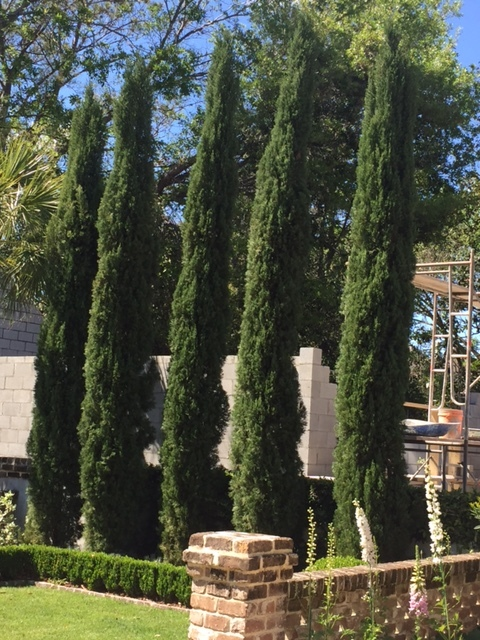 Repeating in odd numbers is crucial. This Italian Cypress makes a dramatic display at the back of this garden. In Western North Carolina, we're not zoned for Italian cypress, but we can use 'DeGroot's Spire' arborvitae for a similar look.