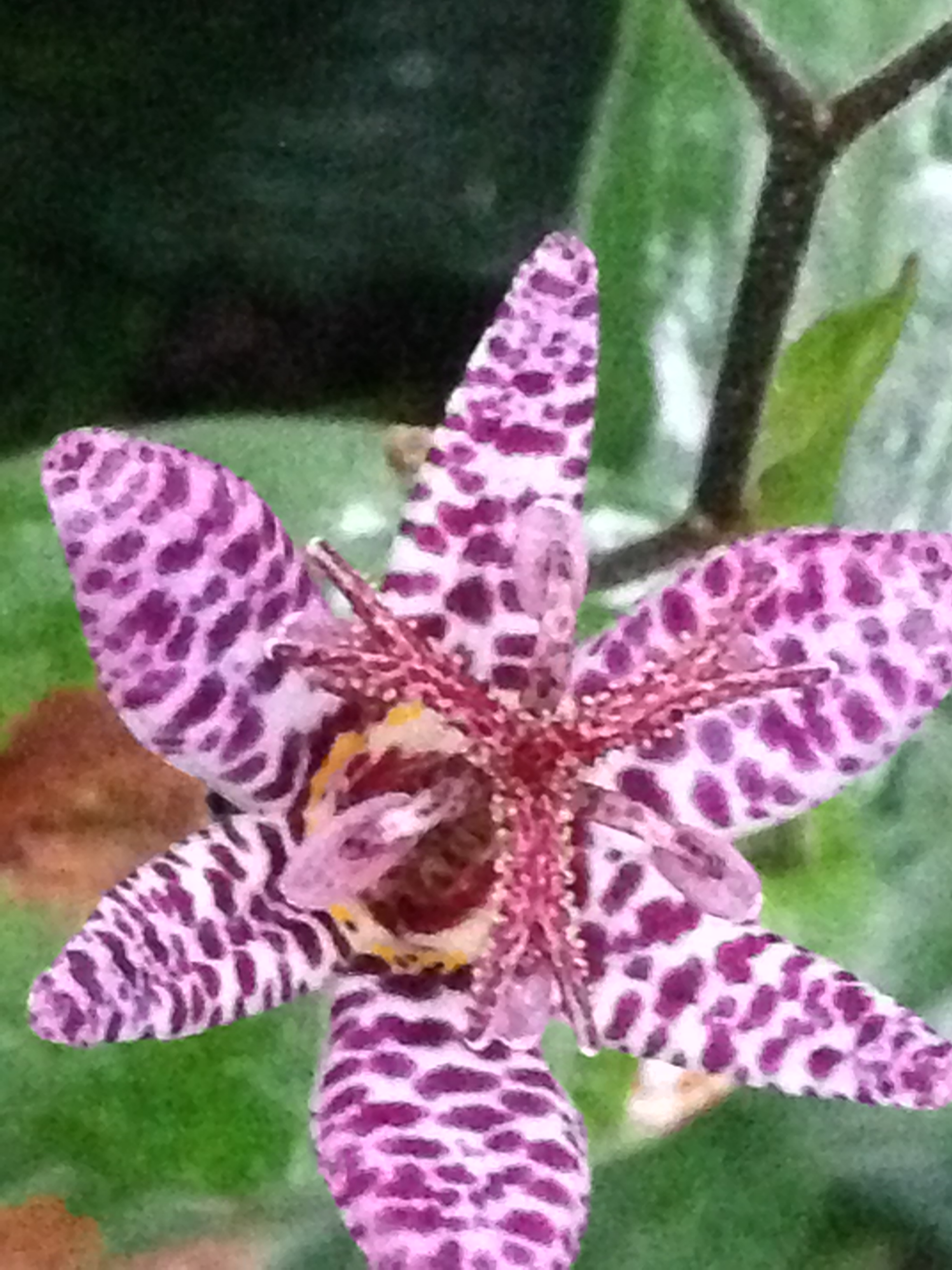 Shade loving toad lilies are worth every inch of shade a garden can give them. These orchid-like blooms are small but showy in the garden and bloom late fall.