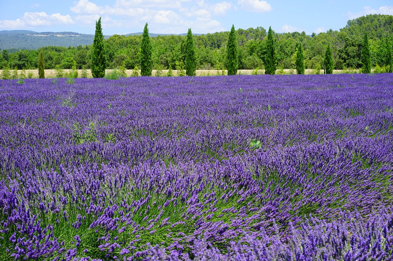 Rows of lavender is one of the prettiest sights in the world. If you're going to grow this Mediterranean plant, be sure it has full sun and excellent drainage. If planting in the landscape, plant high and use amendment or permatil for better drainage.  Especially if you have heavy clay or compacted soils.