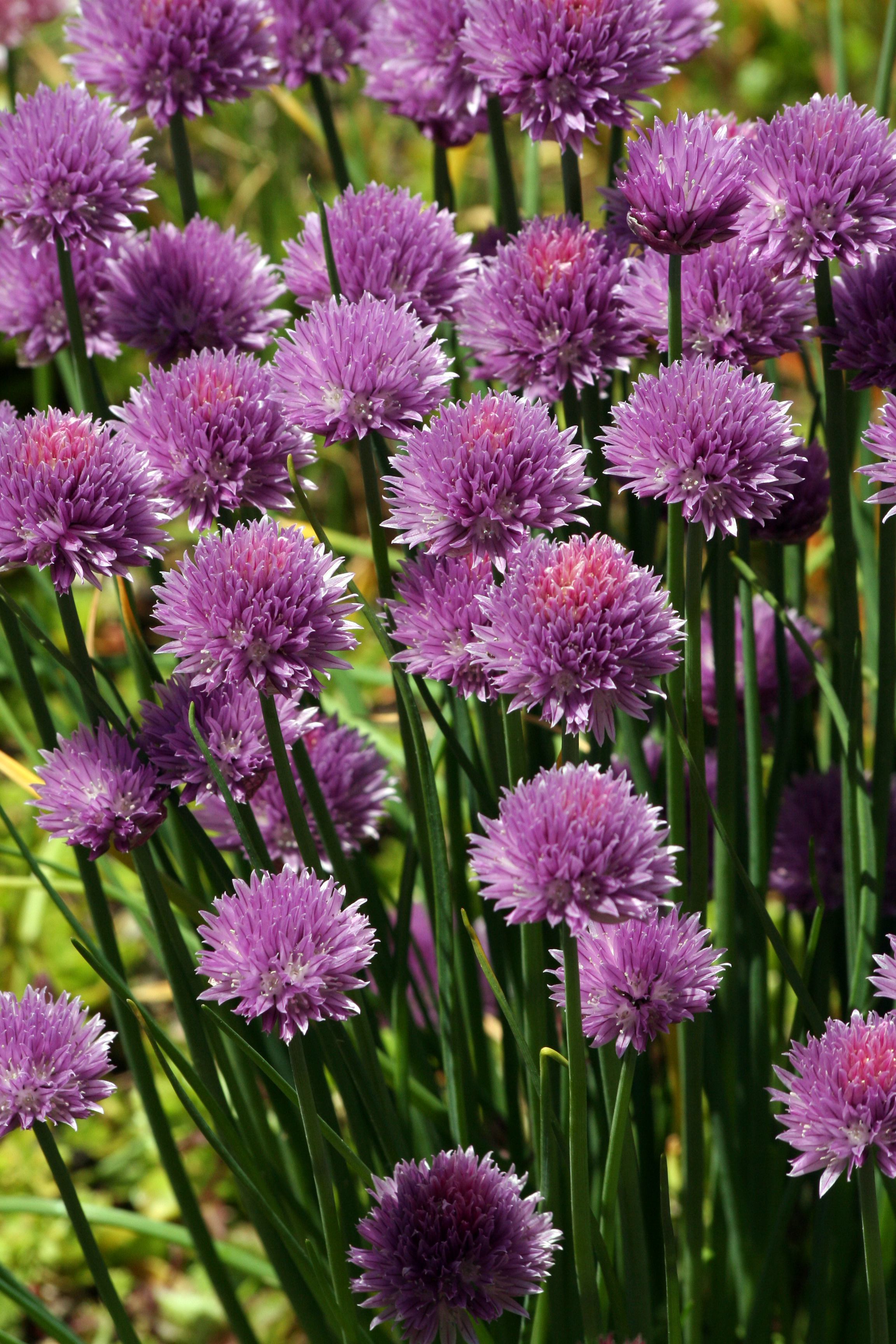 Chives are one of the easiest herbs to grow and their flowers are worth it. Add them to your perennial garden and divide every 3-5 years to keep plants thriving. Remove seed heads to keep from reseeding (or not!).