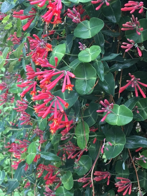 For tight spaces or vertical height, consider a vine like this honeysuckle vine. It blooms  May-June and then sporadically throughout the season, and bonus, the hummingbirds love it.