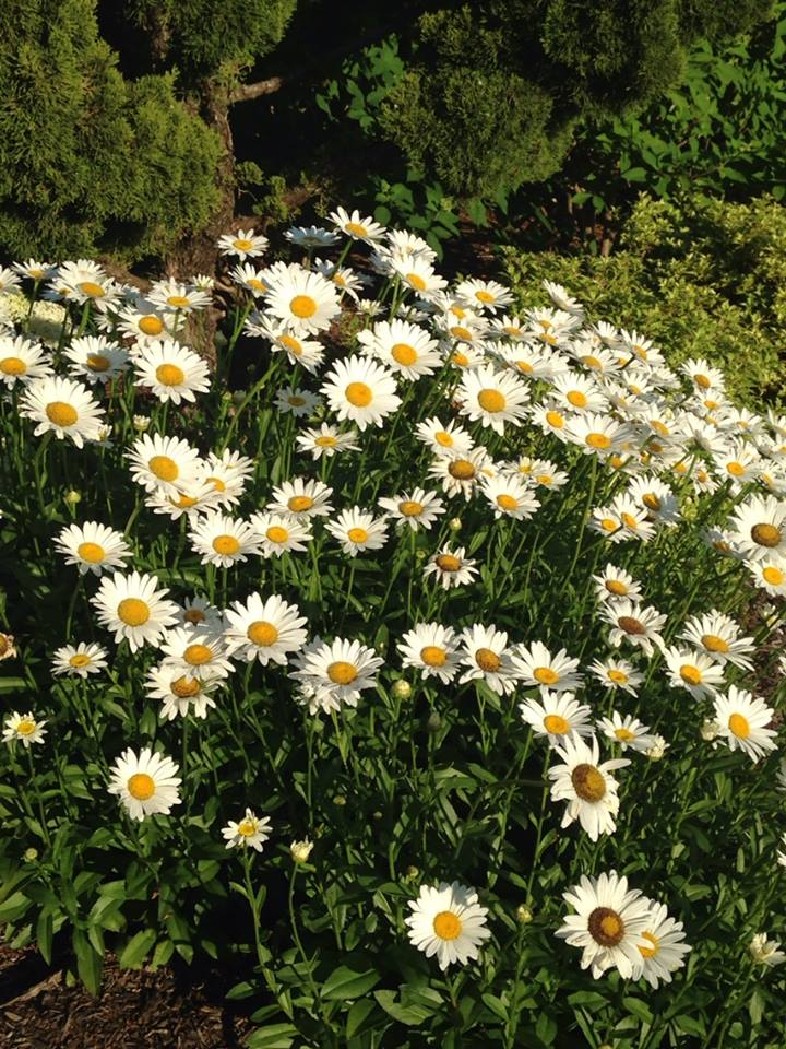 Shasta daisy is a long blooming mid-summer perennial that helps fill the gap between the spring perennials and your fall perennials. Easy to grow, easy to divide and propagate, this one is a staple.
