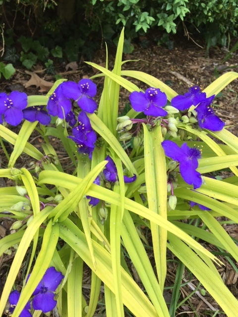 'Sweet Kate' spiderwort can be cut back in late summer for a fall re-bloom.