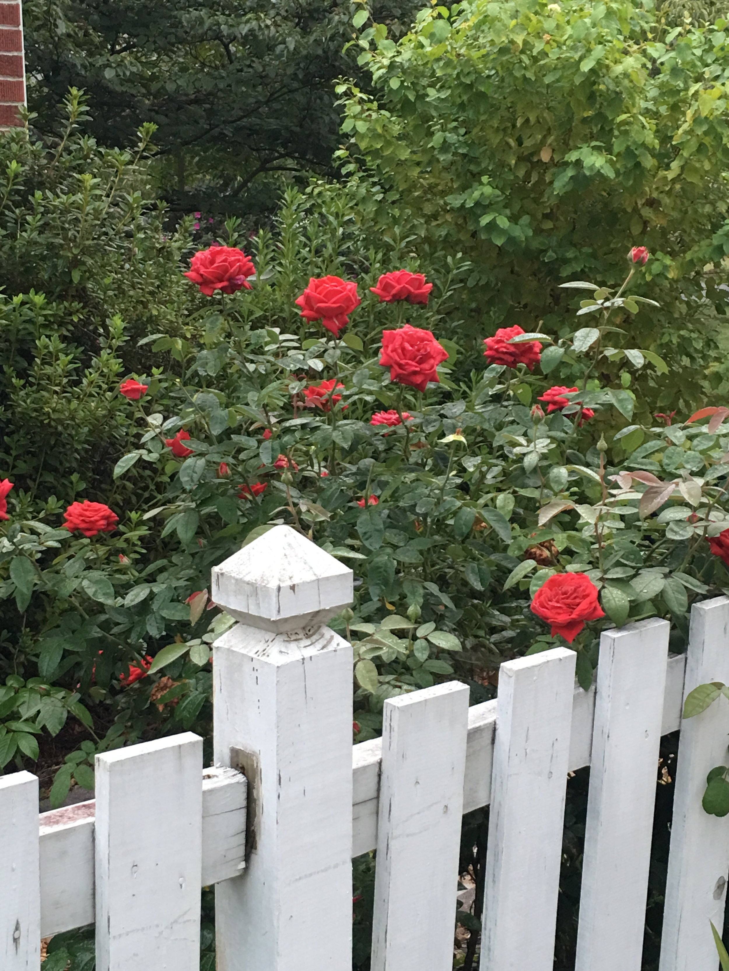 Shrub roses have revolutionized color in the garden. Blooming anywhere from 3x a season to continual bloom, they're more disease resistant and require little care for the color they offer.