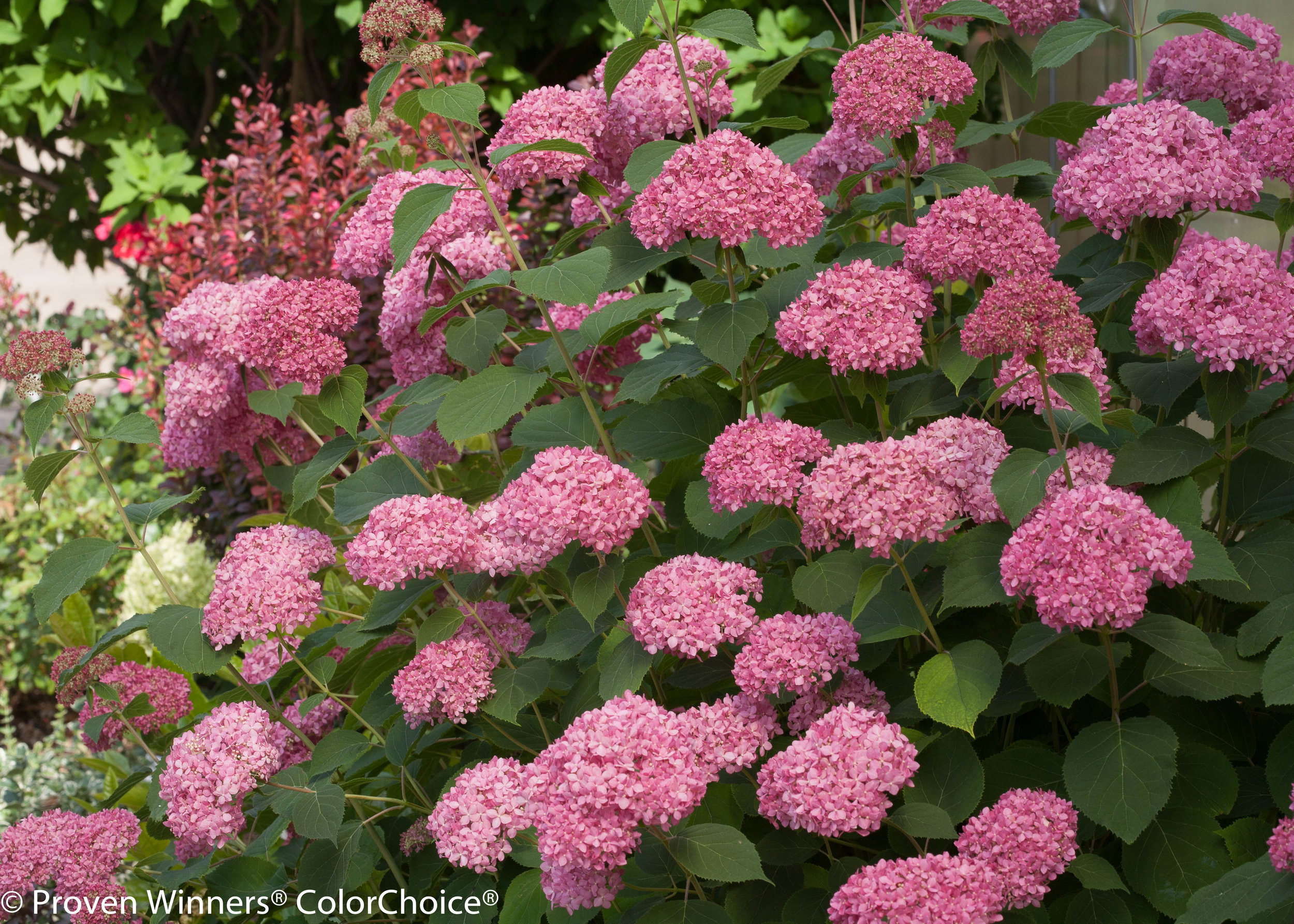 Hydrangea arborescens 'Invincibelle Spirit II ' is pink and supports the research to end breast cancer.  Check out how this hydrangea helps support this cause.