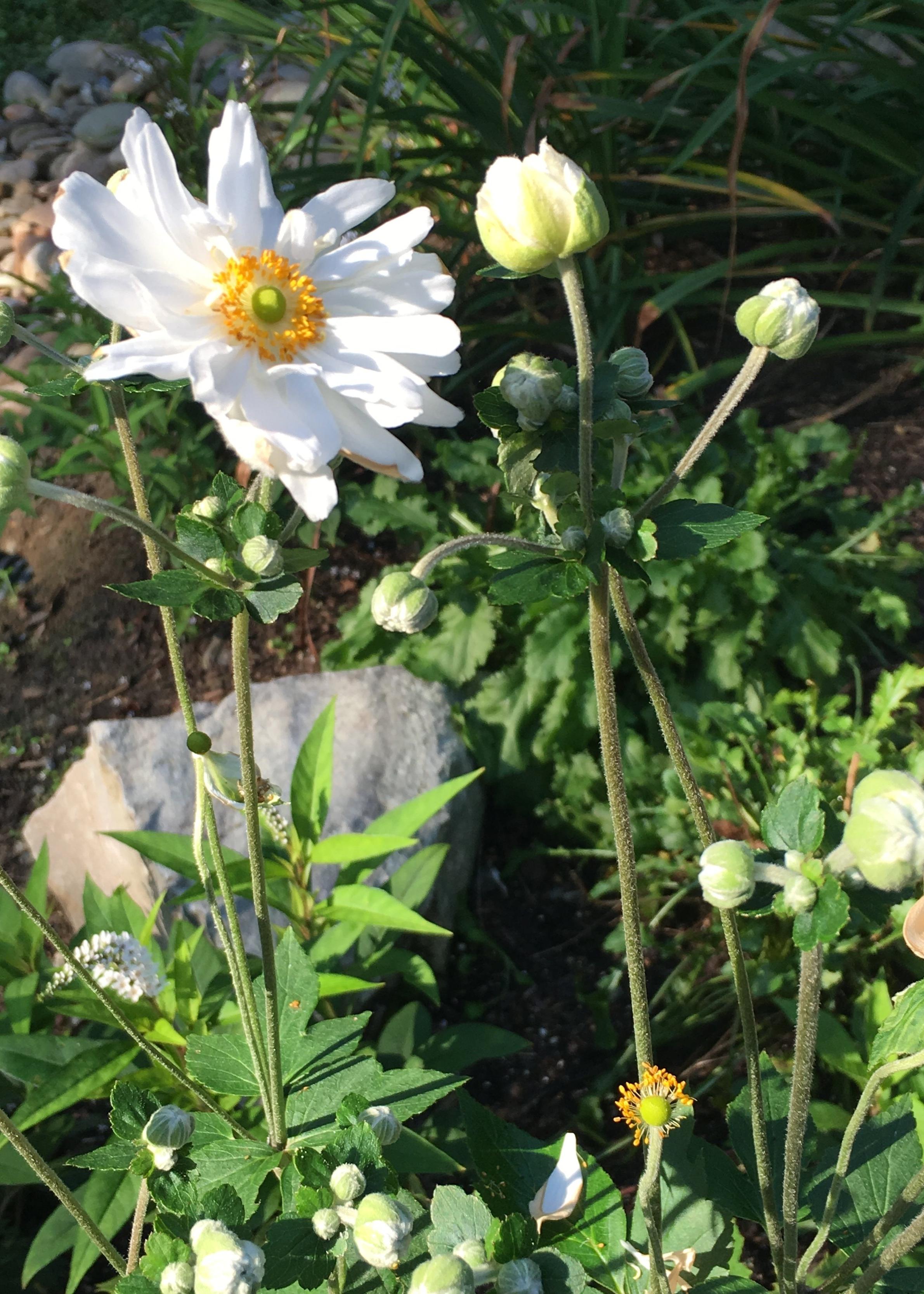 Anemone 'Honorine Jobert'