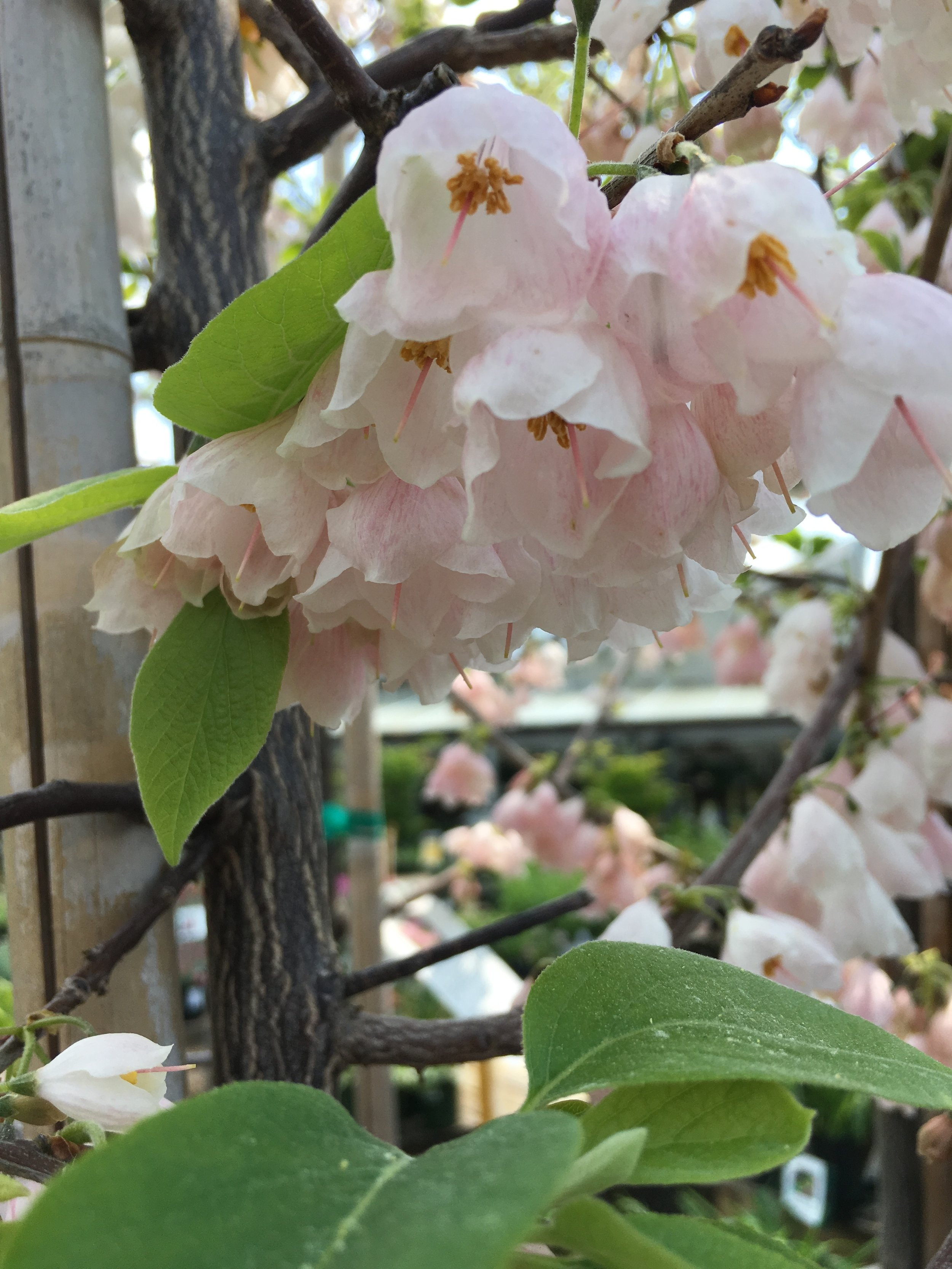 Halesia monticola 'Arnold Pink'; Pink Silverbell