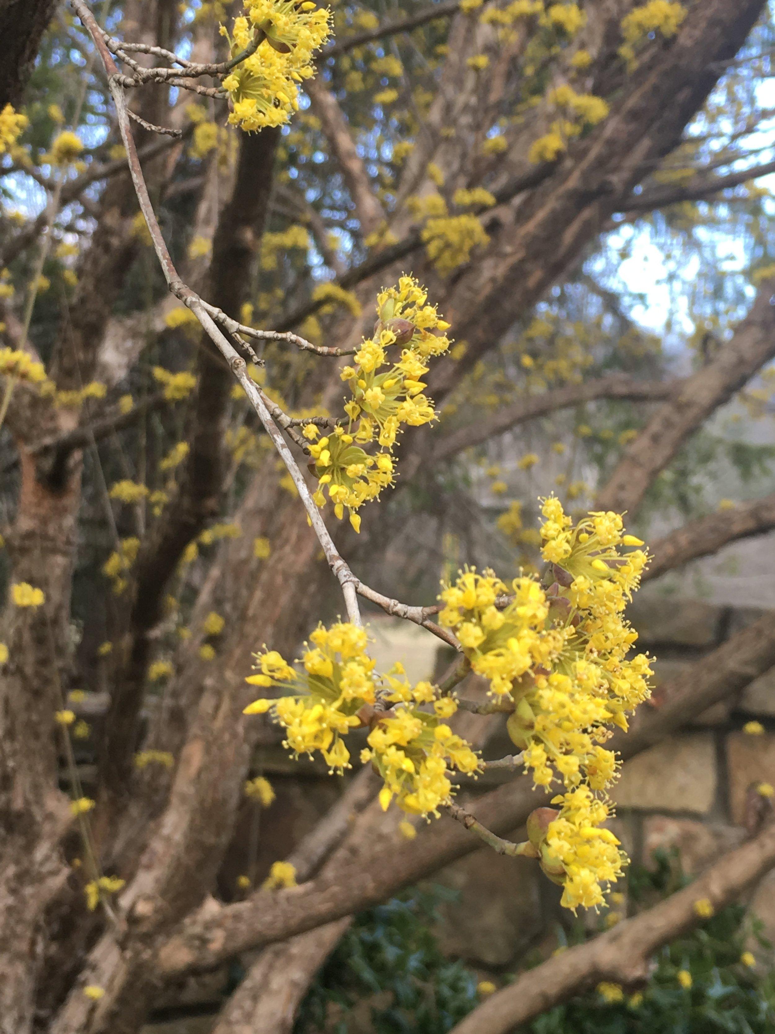 Cornelian cherry dogwood blooms