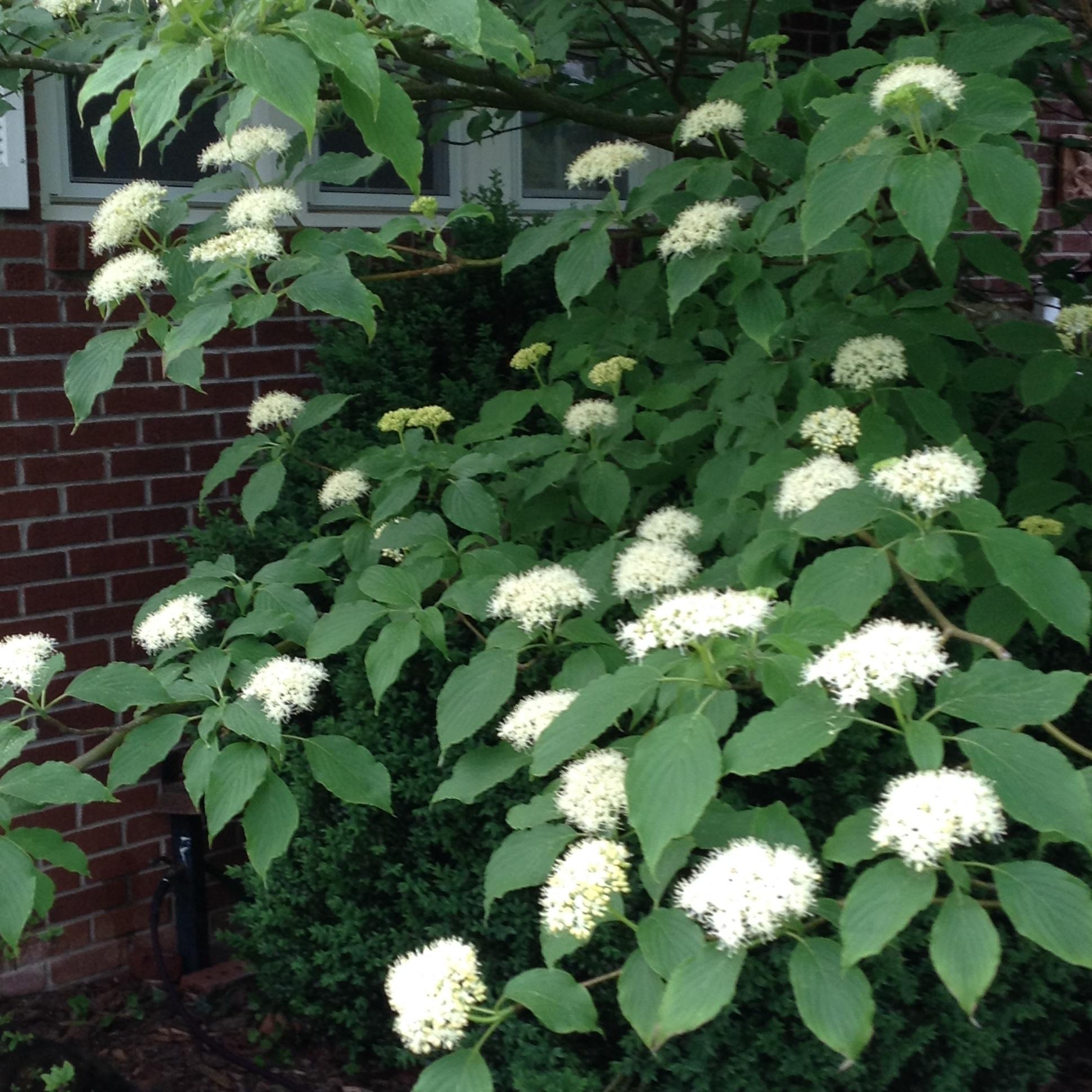 Rough leaf dogwood blooms