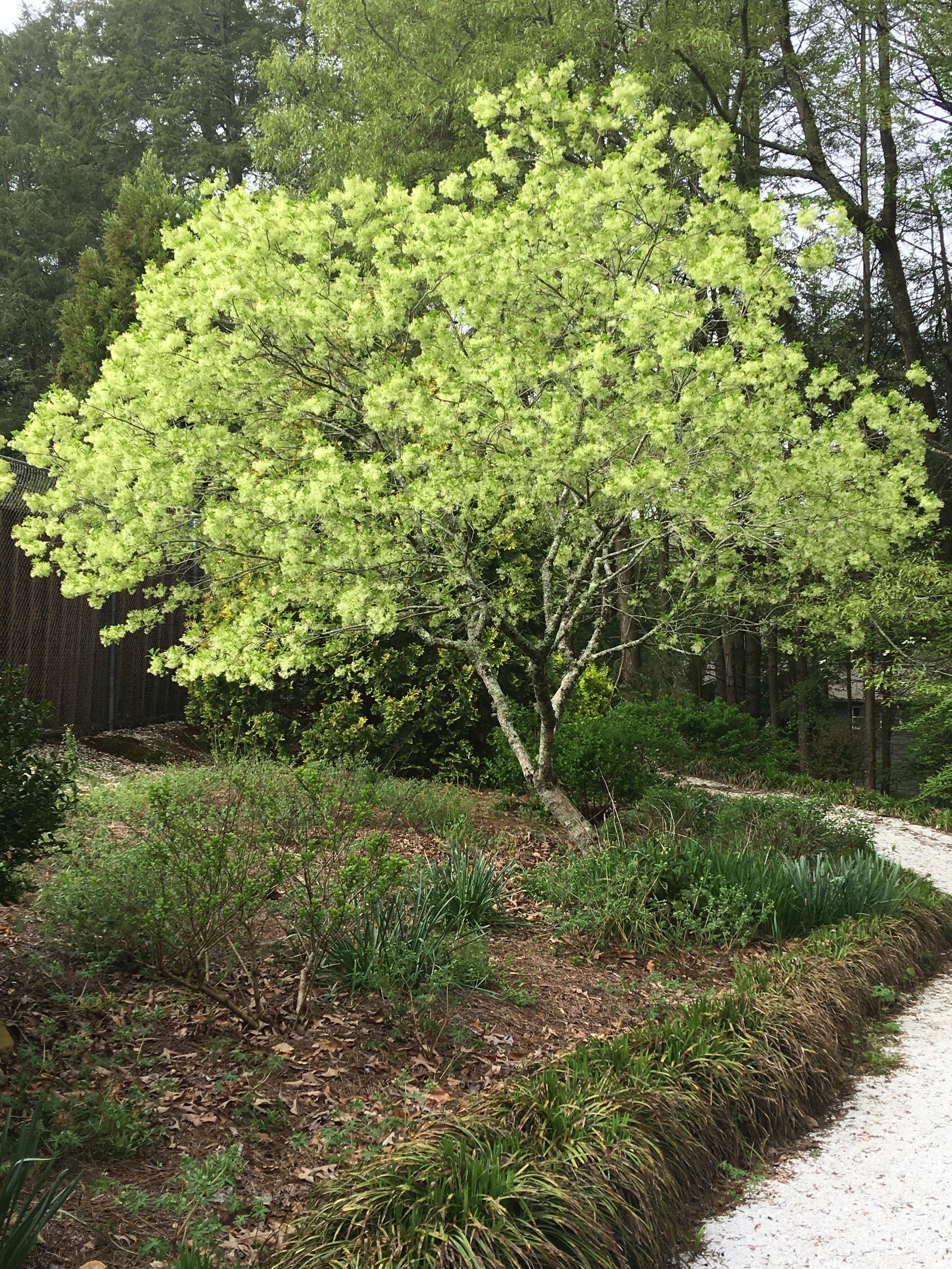 Chionanthus virginicus; White fringe tree