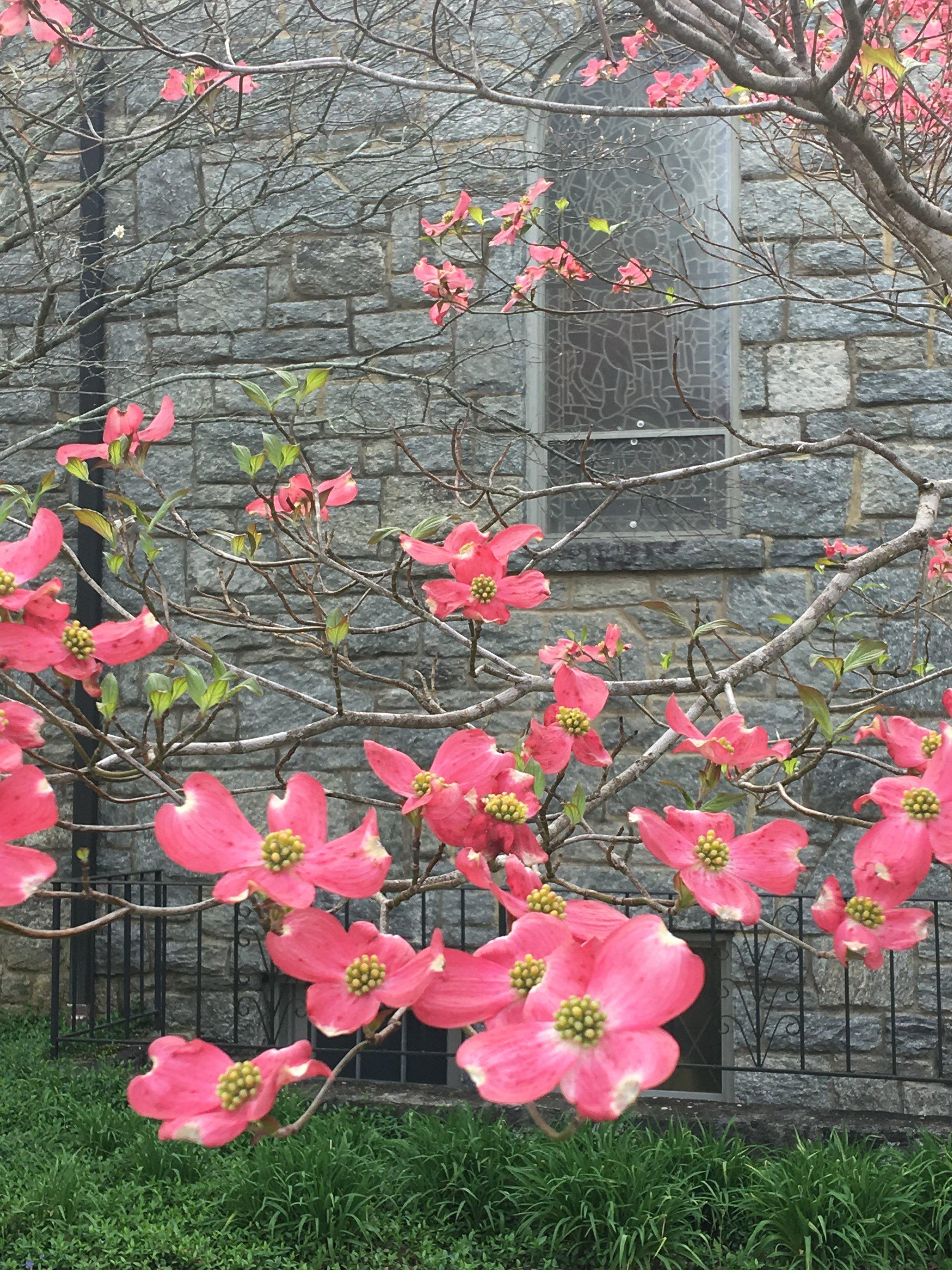 Cornus florida var. rubra; Pink dogwood tree