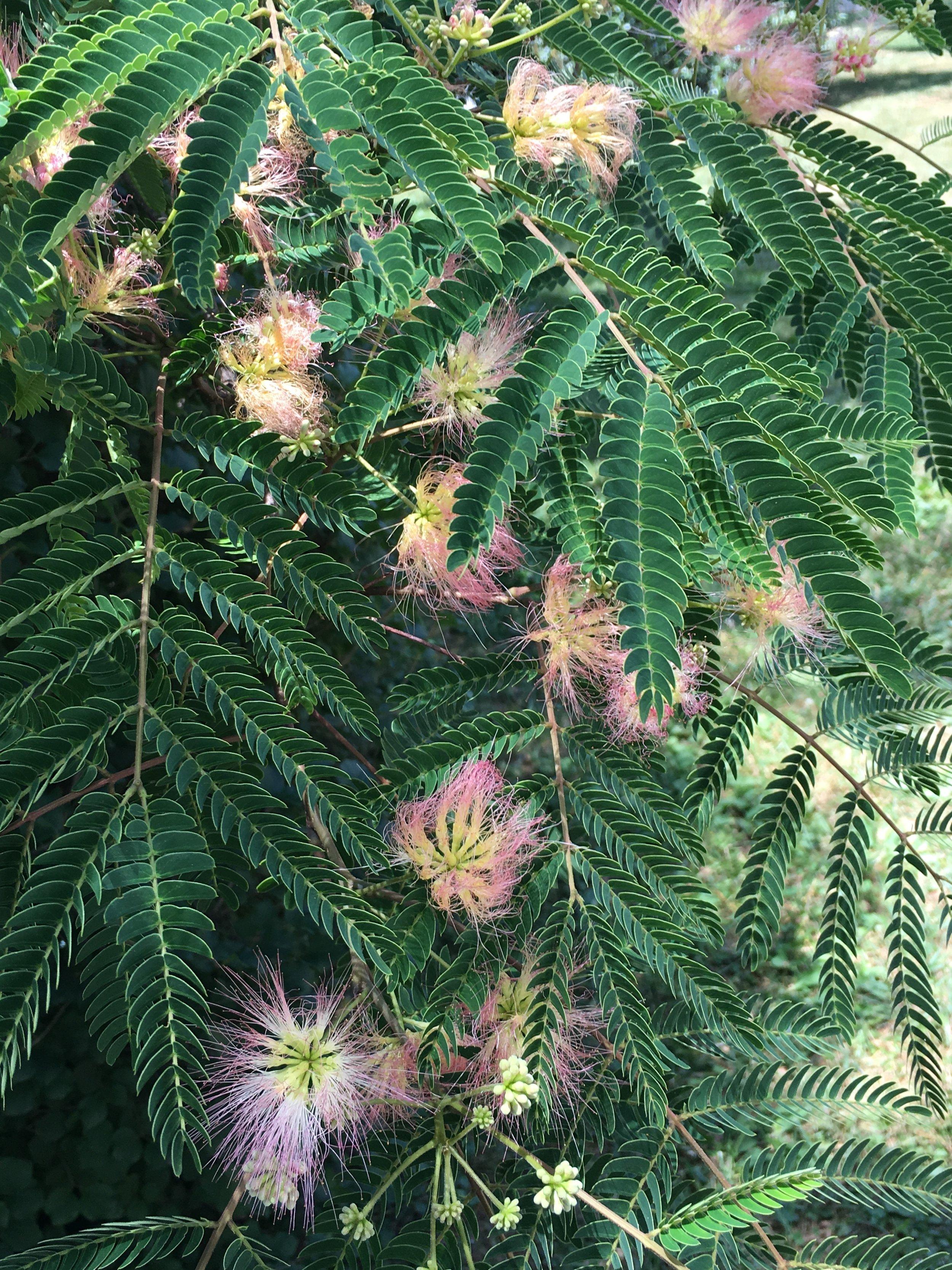 Albizia julibrissin; Mimosa tree