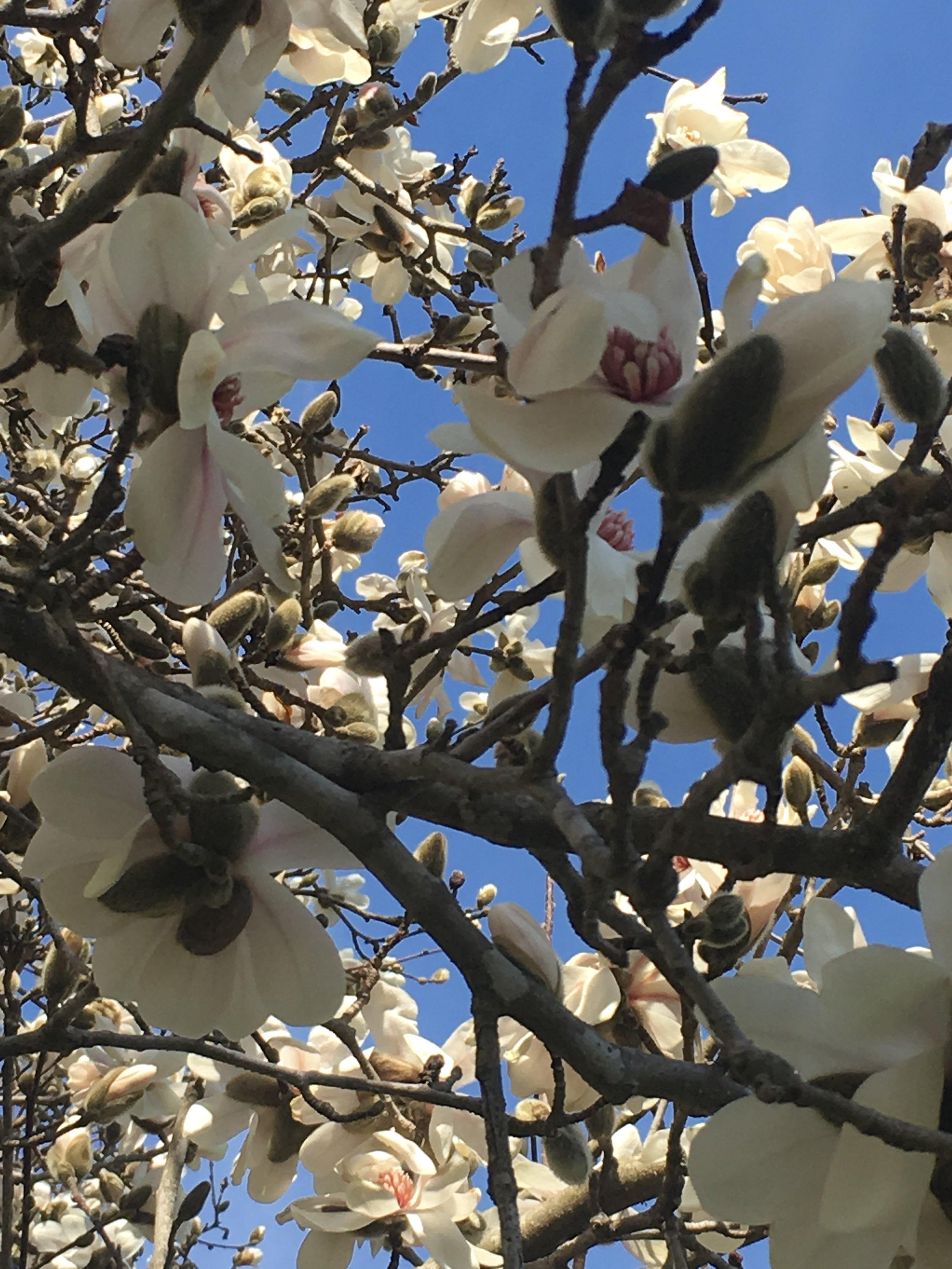 Magnolia x soulangeana; Saucer Magnolia