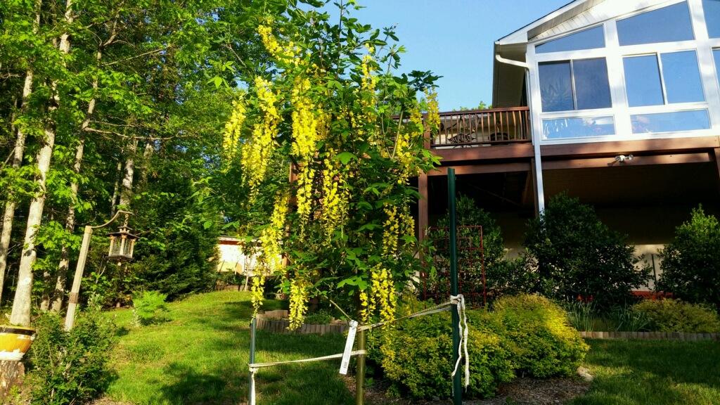 Laburnum x Watererii 'Vossii'; Golden Chain tree