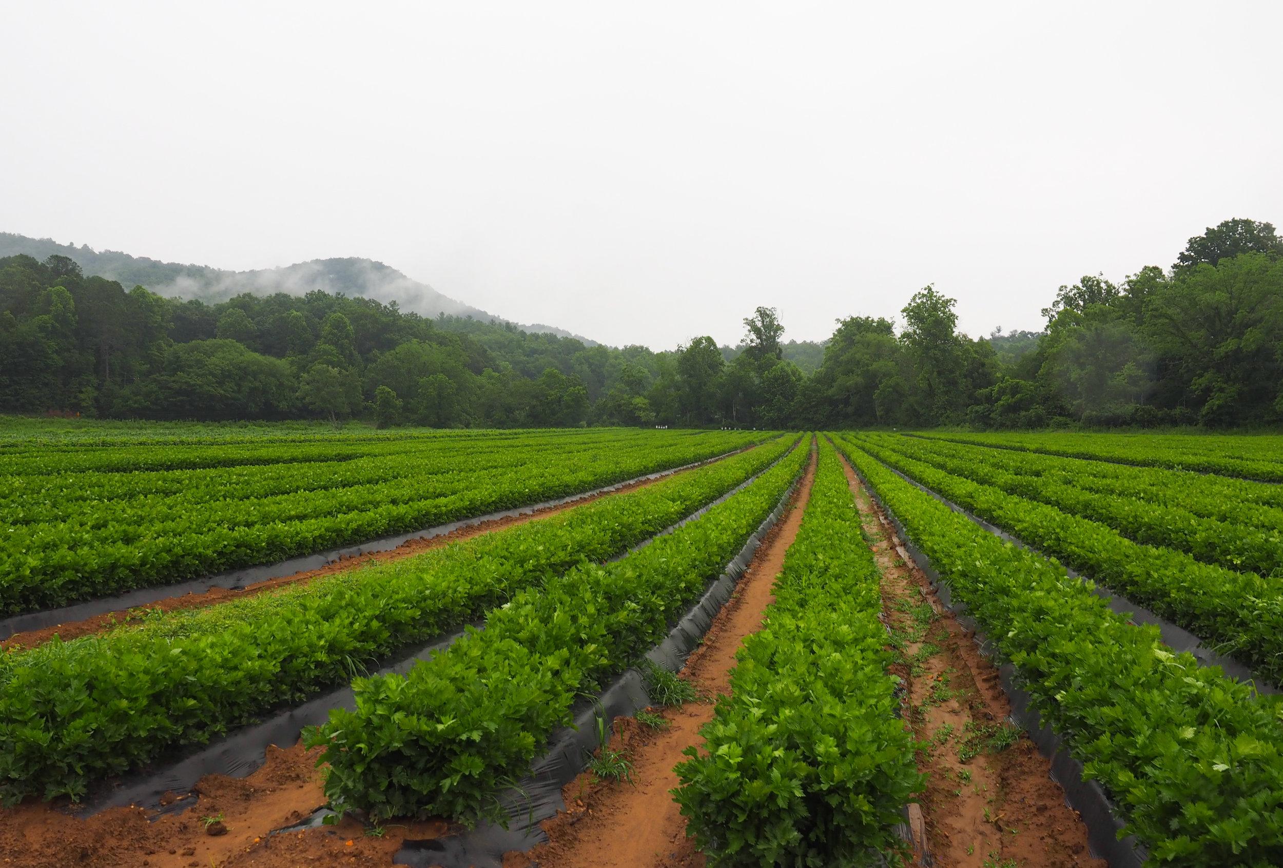 Fields of celery.