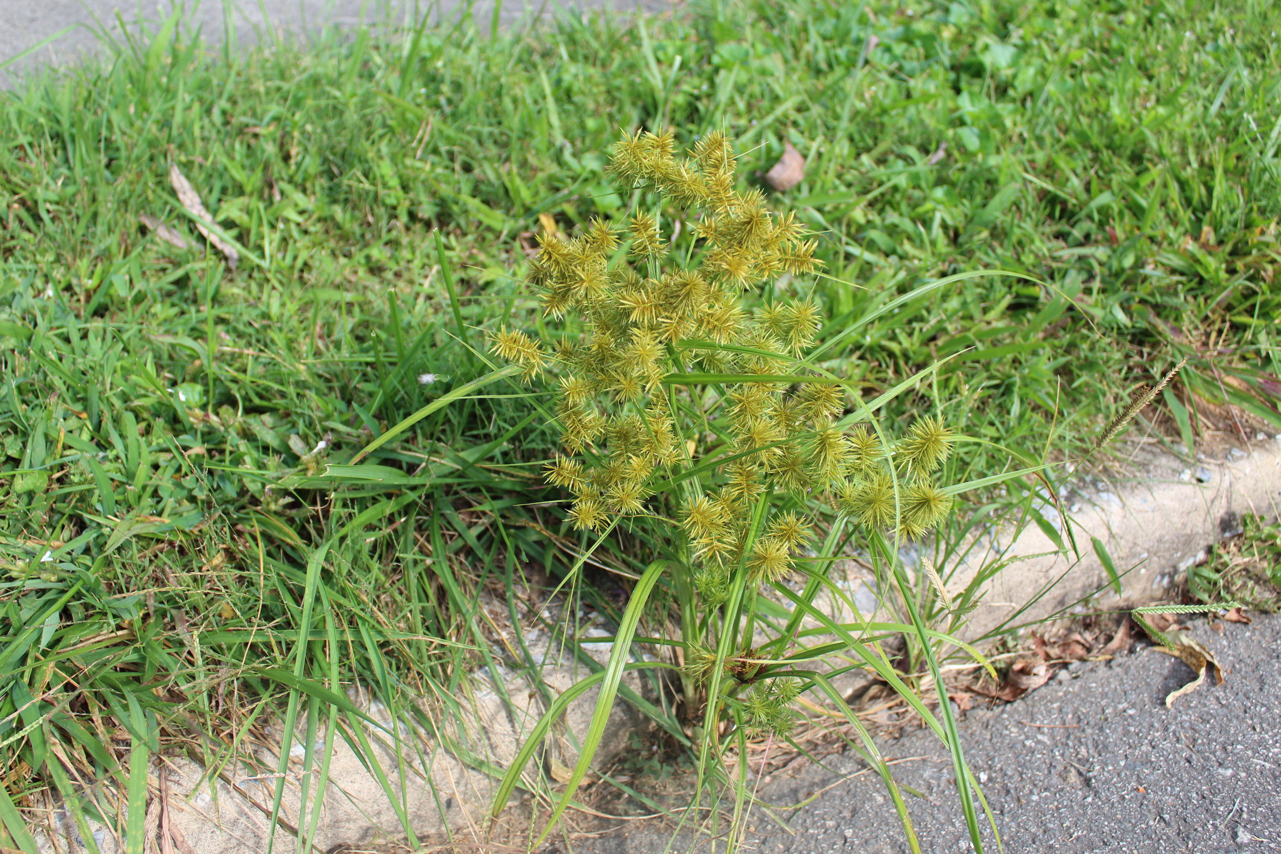 Yellow nutsedge or nutgrass,     Cyperus esculentus  , thrives in areas of poor drainage. You'll find it in places where water pools, and sprinklers are leaking (hence it's infestation in your lawn), but once established it can tolerate drier soils. Be sure to snip flower heads.   Click here   for more information on this weed.