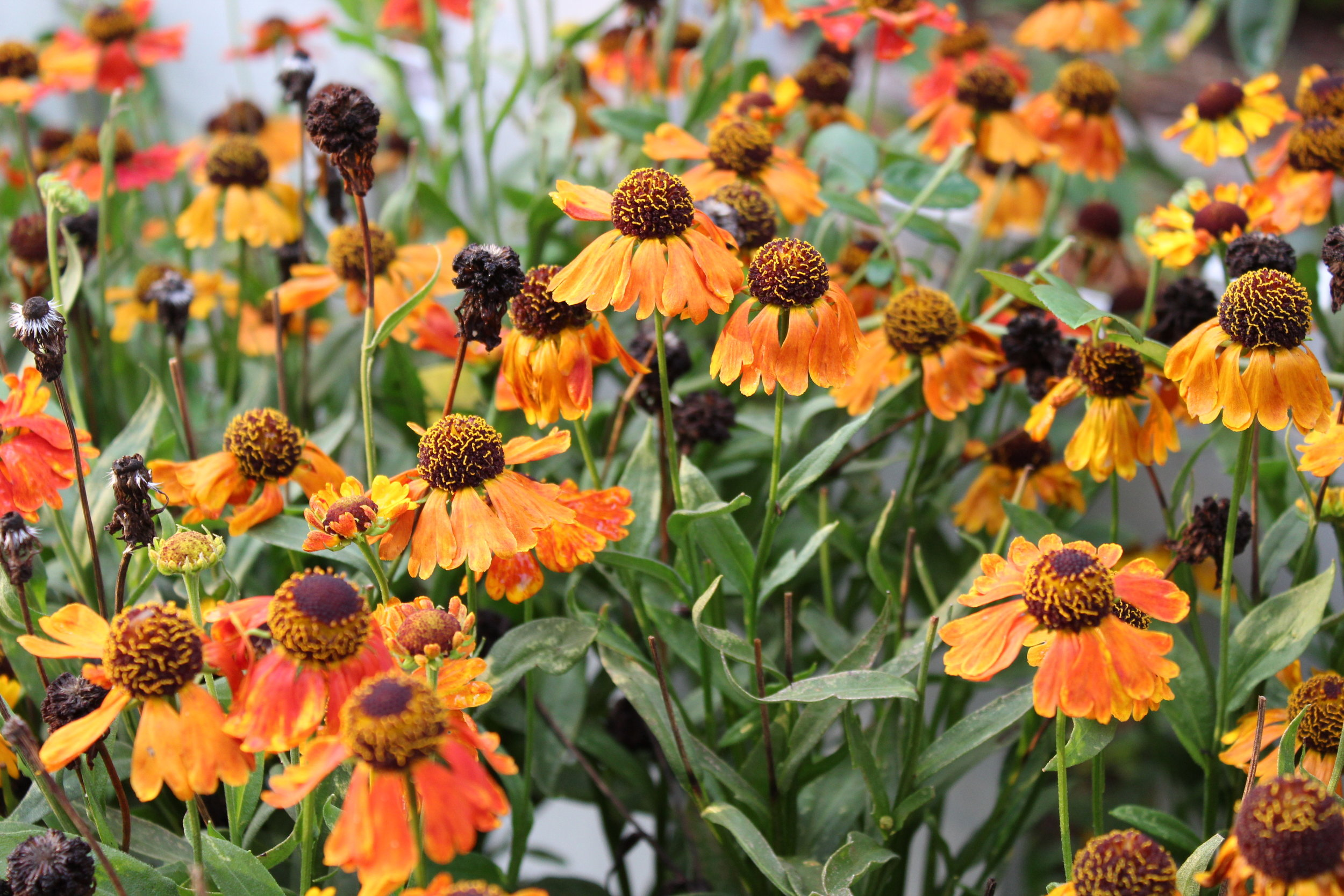Helenium 'Mardi Gras' blooms mid-summer through fall. it non-stop blooms for 2-3 months. It is unbeatable for color and needs no deadheading to keep blooming.