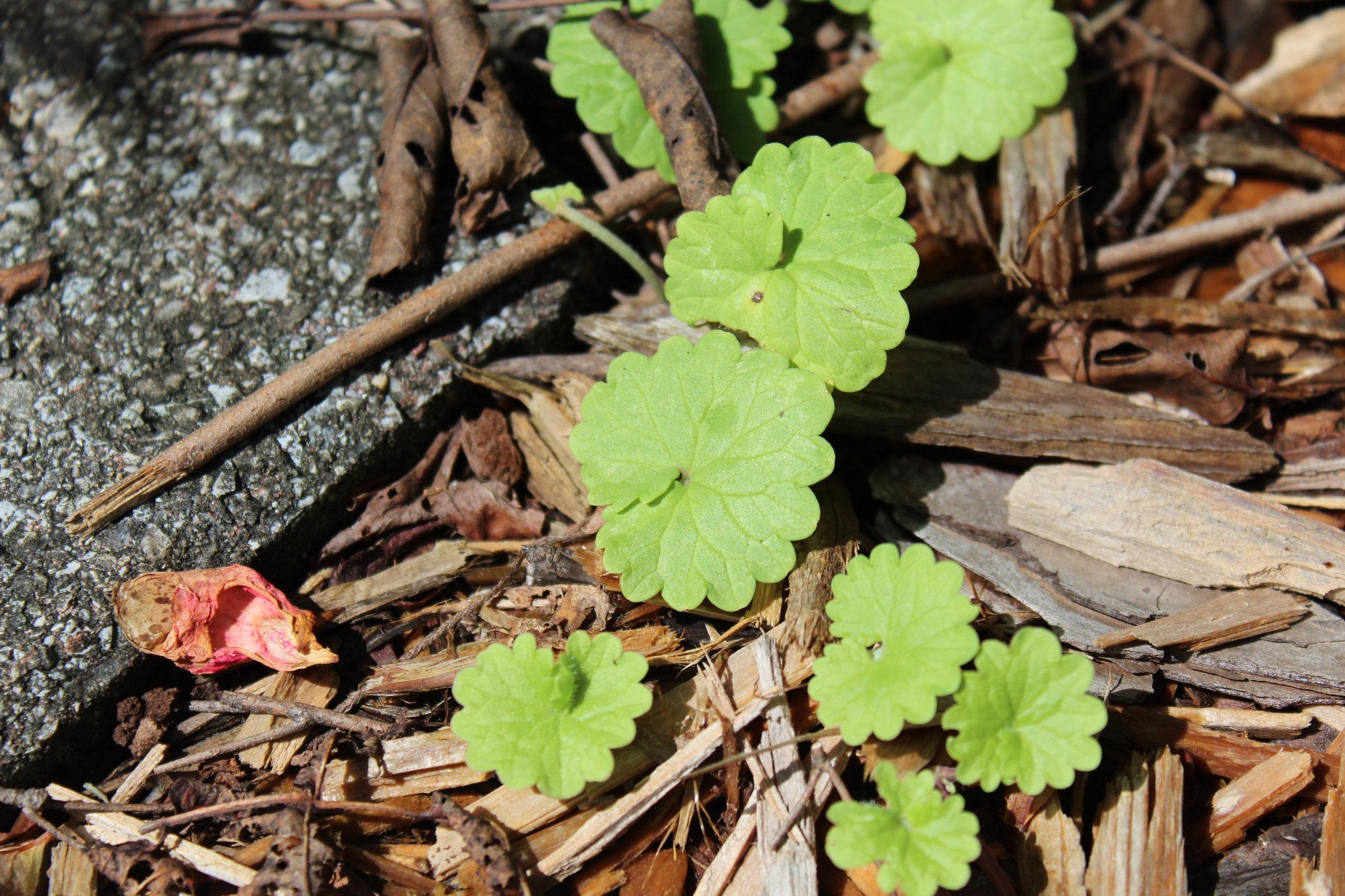 Close-up of Ground Ivy