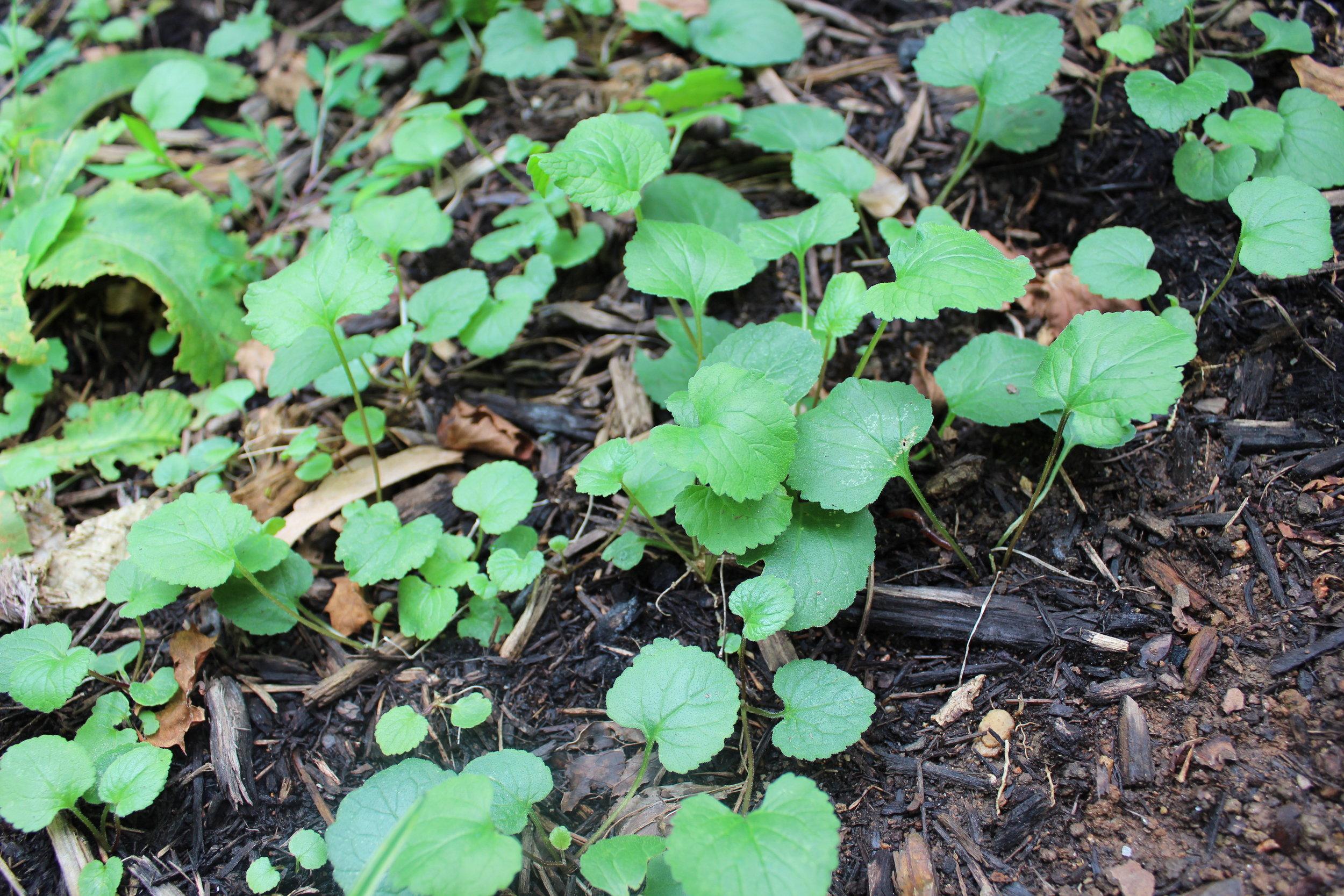 Lamium purpureum or Purple deadnettle
