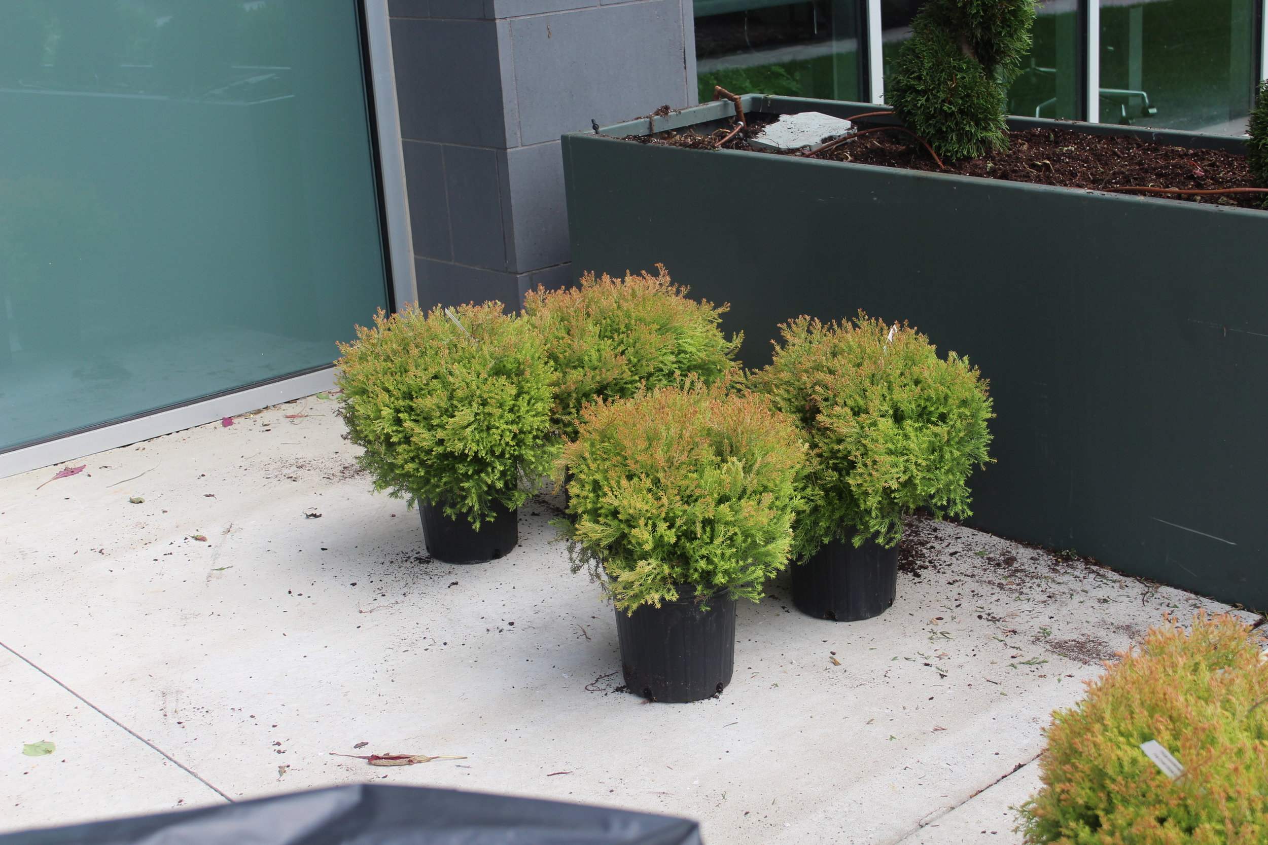 'Firechief' arborvitaes will be the filler at the base of the 'Emerald Green' arborvitaes. These 'Firechiefs' are in 2 gallon containers, so they aren't too large for the container, and their blush pink color gets deeper as winter comes on.