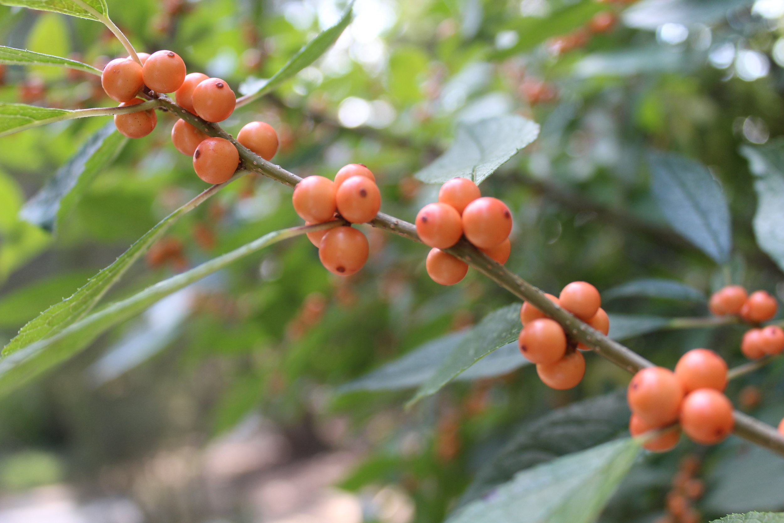 'Wintergold' winterberry has yellowish-orange berries. Shrub matures at 5'-8' x 5'-8'.