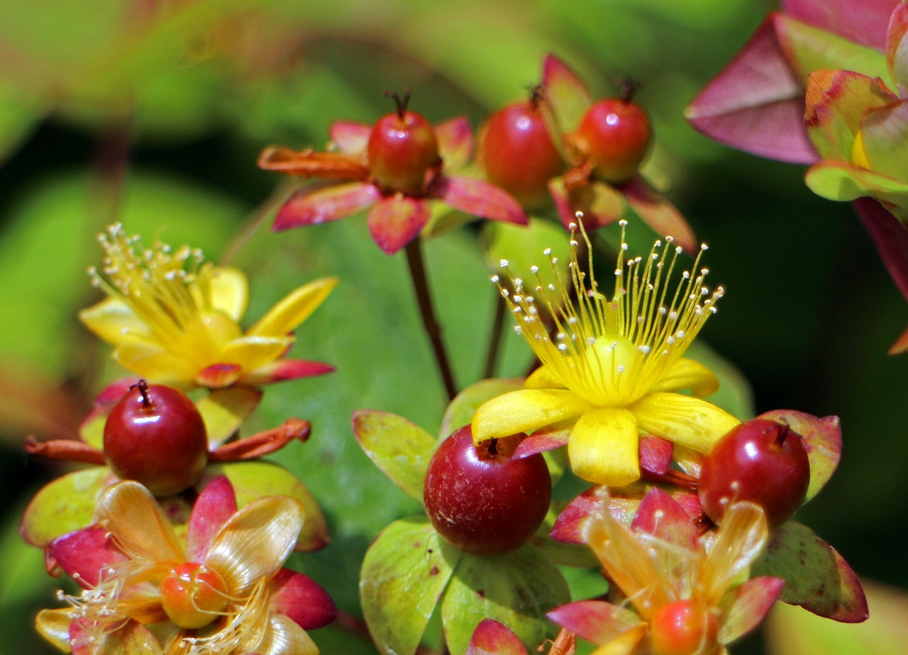 St. John's Wort in late summer. The berries are starting to color and the blooms are still showing. This semi-evergreen shrub is a perfect addition to small landscapes. The birds love the berries.