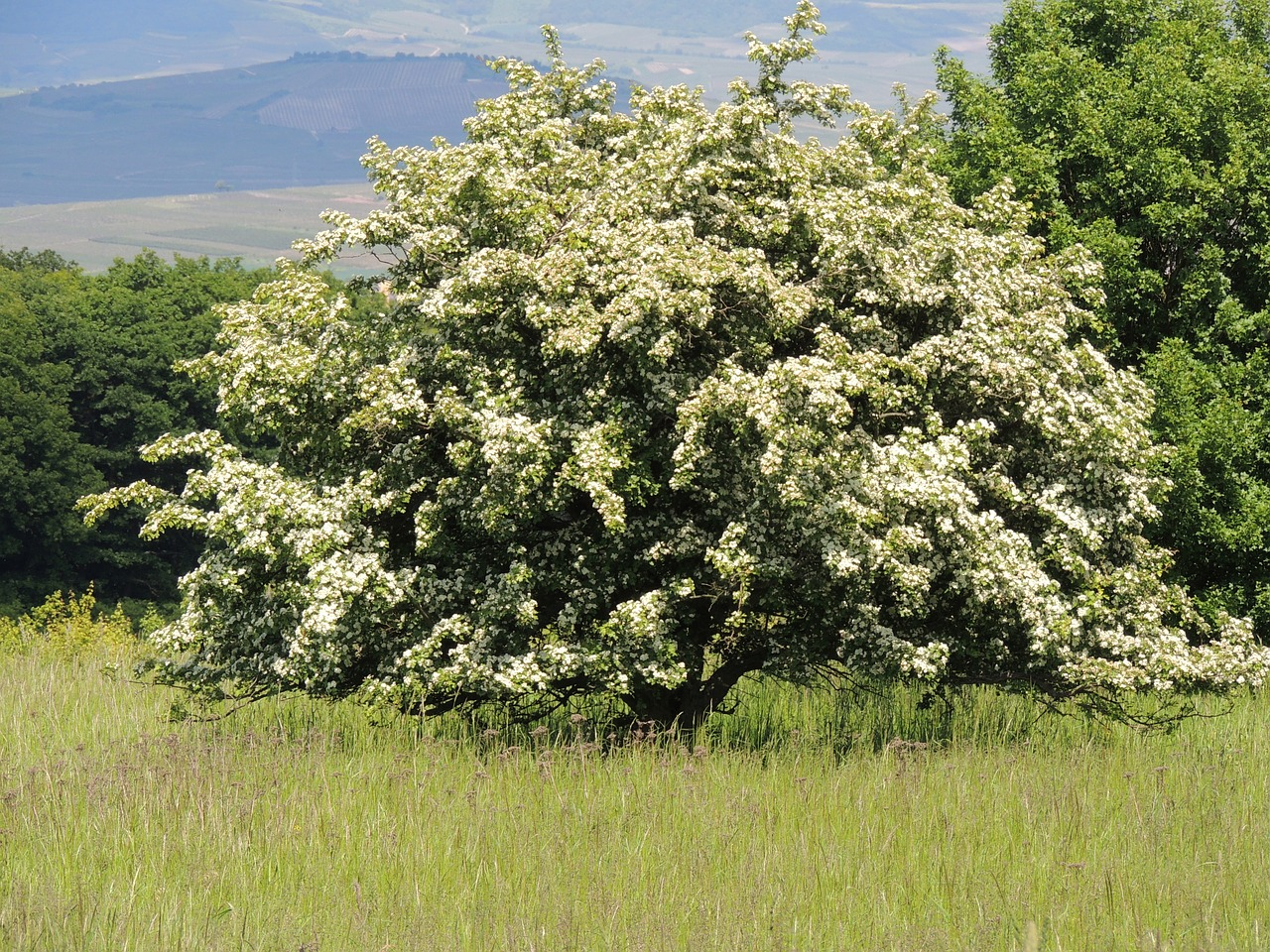 A flowering hawthorn tree in spring is a spectacular sight. The white flowers are fragrant. This native tree is easy to grow, tolerating a variety of soils and conditions. Best in full sun, but performs in partial shade.