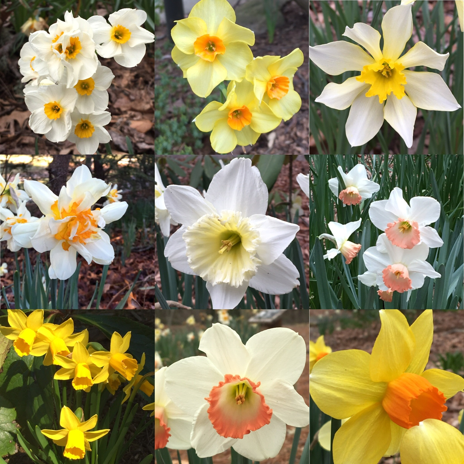 There are so many daffodils (or Narcissus) that you can enjoy their blooms from February into April. Multiple colors, mulitple blooms on one stem, and one that even looks like scrambled eggs. (Can you guess which one?)