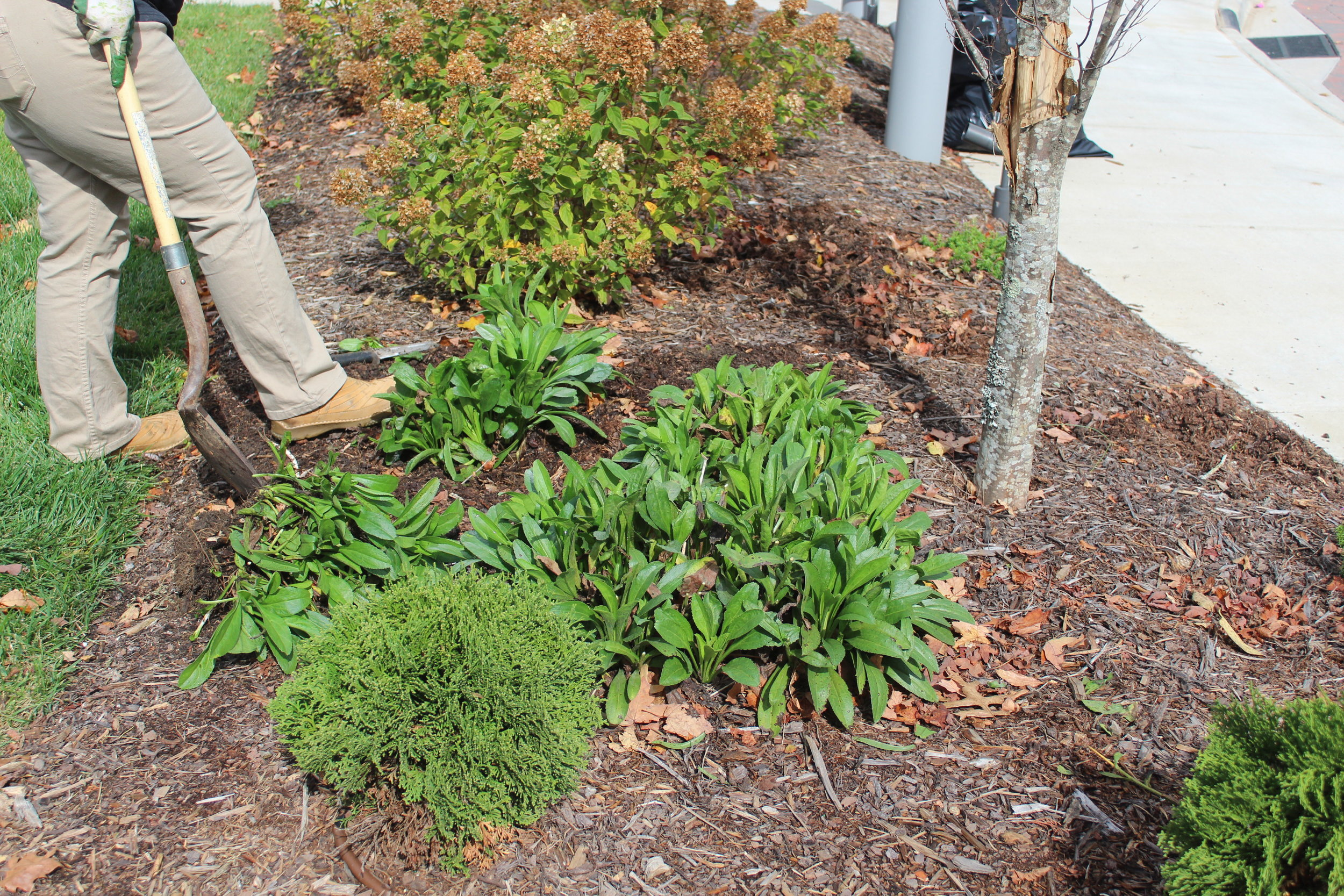 Replant divisions. - Dig holes about a foot deep and wide, and add amendments: 30% amendment to 70% native soil. Daisies will flop with too much fertilizer or enhanced soil. They prefer native soils. Then back-fill, water, and continue to water until plants have gone completely dormant.