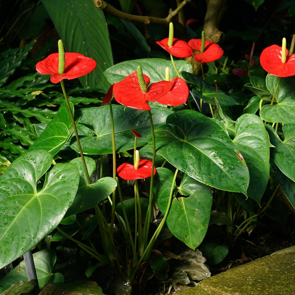 Anthurium   - Botanical Name: AnthuriumCare and Feeding: Resembling a peace lily with leaf and blossom shape, Anthuriums bloom in low light or bright, indirect light. It prefers a shadier spot over a sunnier one. Easy to care for, simply water when the top soil is dry to the touch, but don't allow to dry out completely. Cut off spent blooms. Fertilize with a slow release fertilizer once every six months. Height: 15-20
