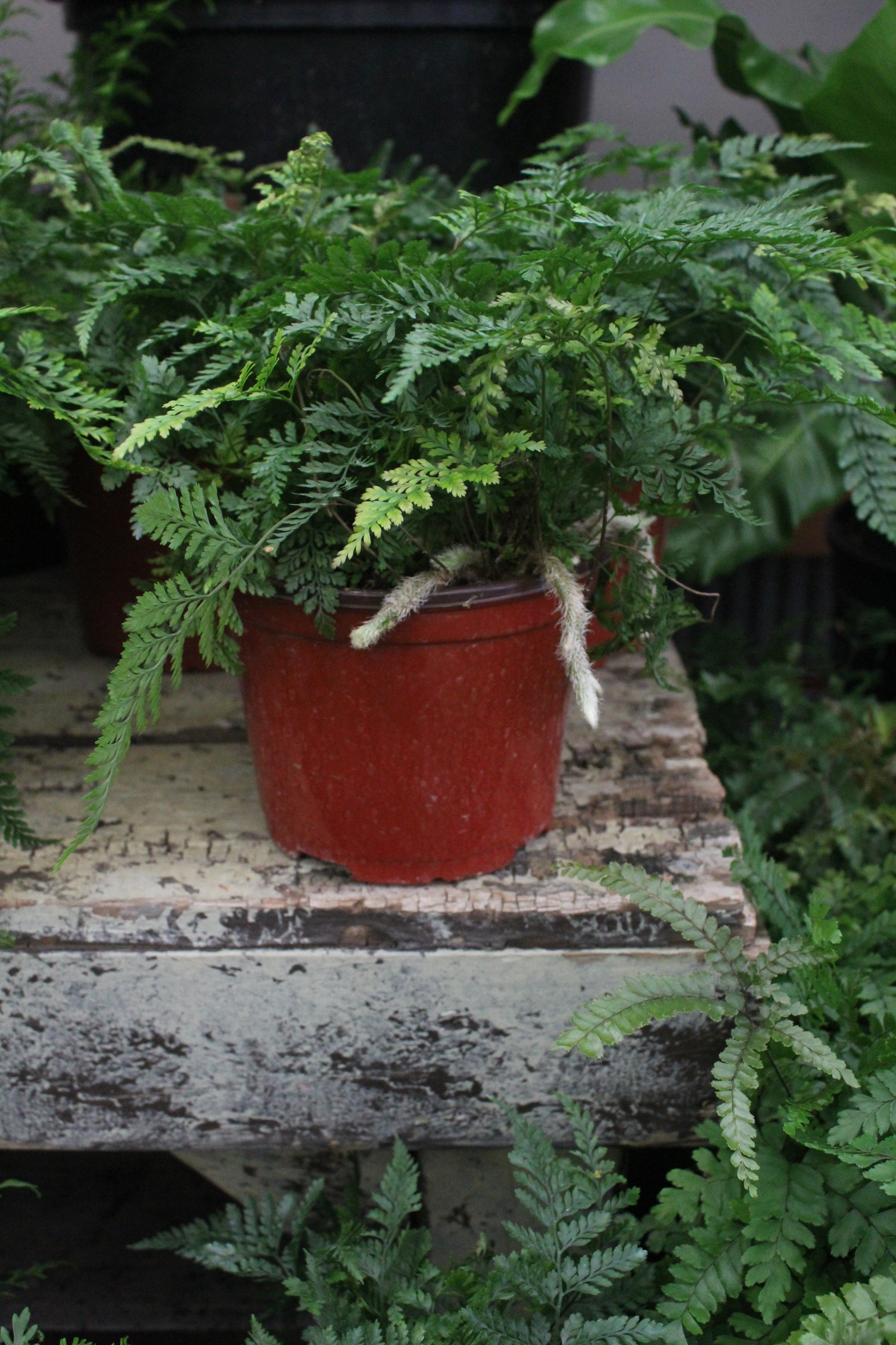 Rabbit Foot Fern - Botanical Name: Davallia fejeensisCare and Feeding: The rabbit foot fern has furry rhizomes hanging that drape over the sides of the container adding interest to an otherwise plain looking fern. Like all ferns it does well in low to bright indirect light, making any fern an easy addition to your home. (Try a few of the more unusual ones, Staghorn, maidenhair, bird's nest.) Water ferns regularly, keeping the top layer of soil moist and misting the fronds to help retain moisture. Give ferns a shower monthly to keep clean of pests and the rhizomes of rabbit's foot moist. Hang this plant or put on a high shelf so the