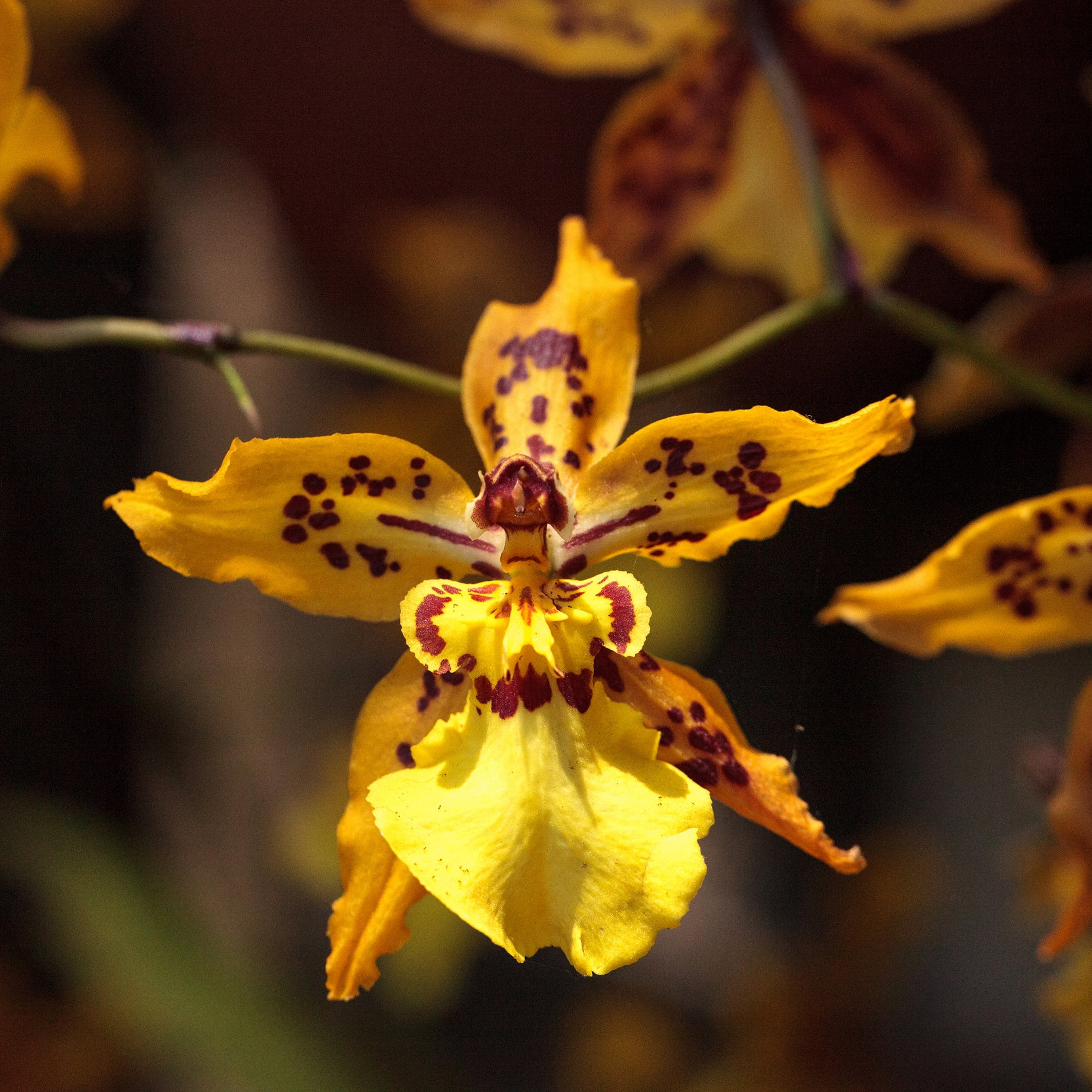 Oncidium (Dancing-Lady)  - Light: Vary from bright to almost full direct depending on the variety. East, south or west windows are ideal.Temperature: 55°-60° at night. 80°-85° at night.Watering: Needs will vary depending on variety. Plant with large, fleshy roots or leaves need less than thin-leaved or thin-rooted. Medium should be halfway dry before watering again.Bloom time: Winter-to-Spring/6 weeks to 2 months. Cut spike back immediately after blooming to redirect energy to plant, new bloom spikes begin on new pseudobulbs.Fertilize: Twice monthly using an orchid fertilizer (30-20-20) if planted in bark substrate. 20-20-20 if planted in moss or on slabs.