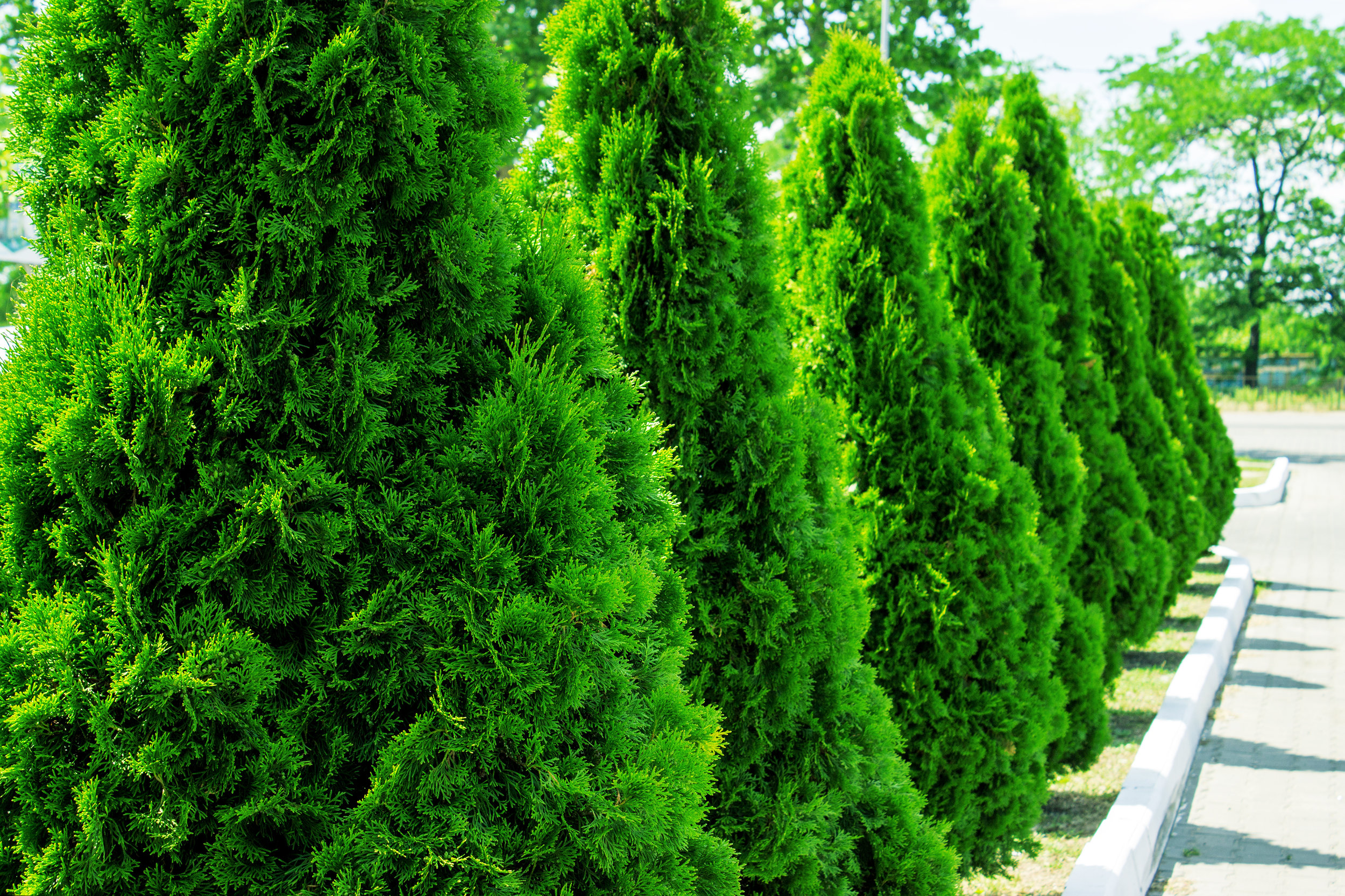 Trees To Use For Privacy B B Barns Garden Center Landscape Services