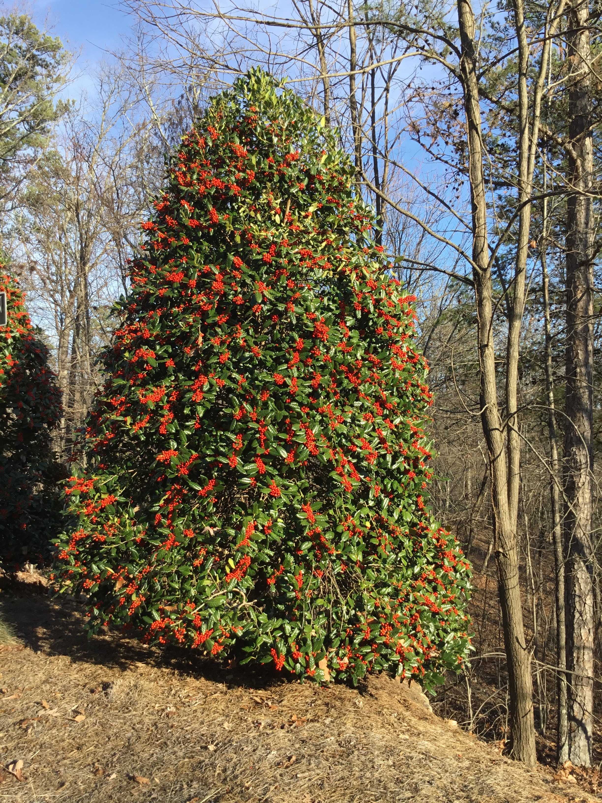 Holly trees - Hollies are dioecious; meaning the male plants produce pollen, and the female plants produce berries, the reason we want these evergreens trees. To get the berries, a male plant needs to be within 30-40' of the female for the holly to have berries. Some are self-pollinating.Zone: 3-11Size: 30'-40' x 15'-25' (slight variation depending on cultivar).Cultivars Suggested: 'Nellie Stevens', 'Emily Brunner', 'Satyr' Holly (American holly)Culture: Hollies prefer full sun, but some tolerate more shade ('Satyr' and 'Emily Brunner'). The more shade the less fruit, but you still have the evergreen coverage.Growth rate: Medium to FastPests and Diseases: Hollies are relatively pest-free, but some do suffer from winter die-back and scale.*Nellie Stevens' pictured