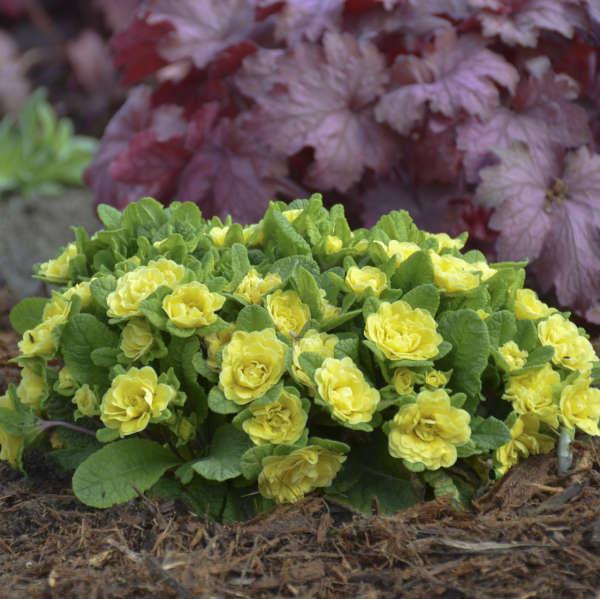 Belarina Primula vulgaris 'Buttercup'
