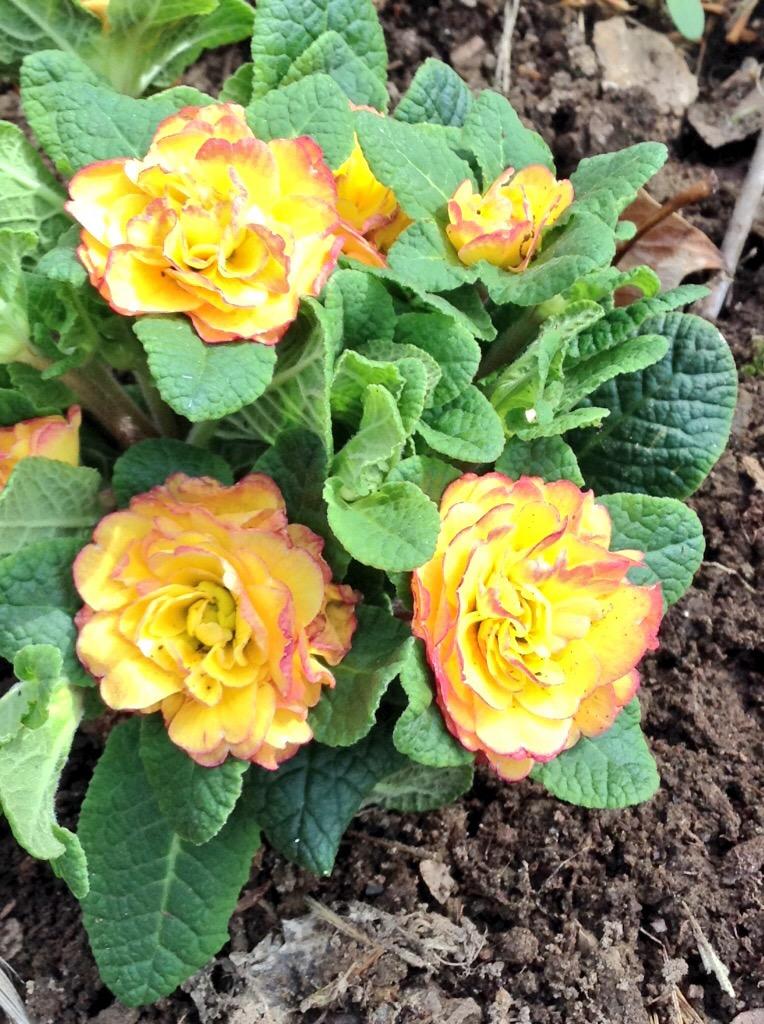 Belarina Primrose vulgaris 'Nectarine'