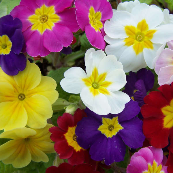 Primrose 'Pacific Hybrids' similar to your garden store variety of polyanthus (a mix between  Primrose vulgaris  and  Primrose veris ), these large, showy blooms can be seen as early as February.